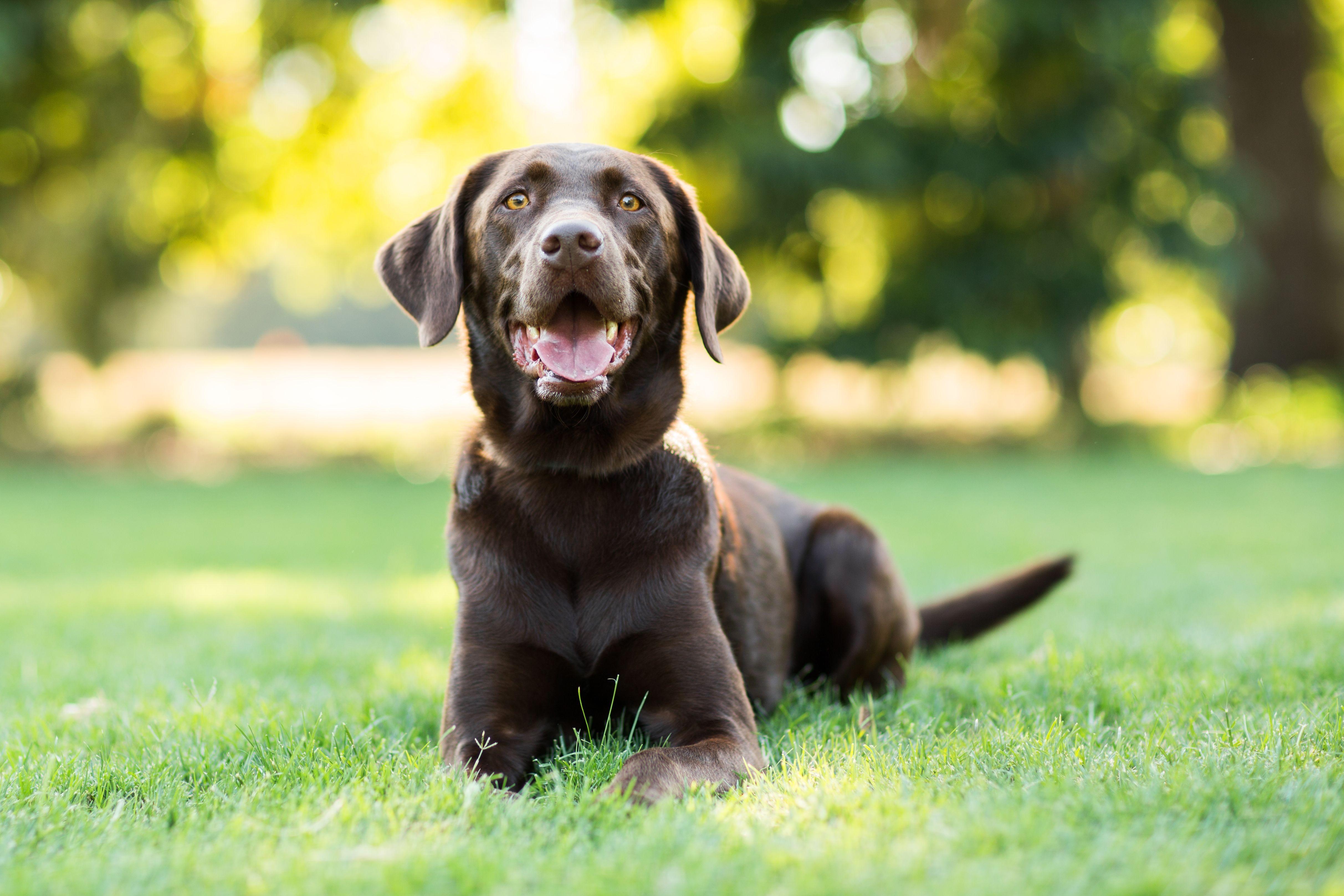 Wallpaper Labrador Dog 4k Animals 14938