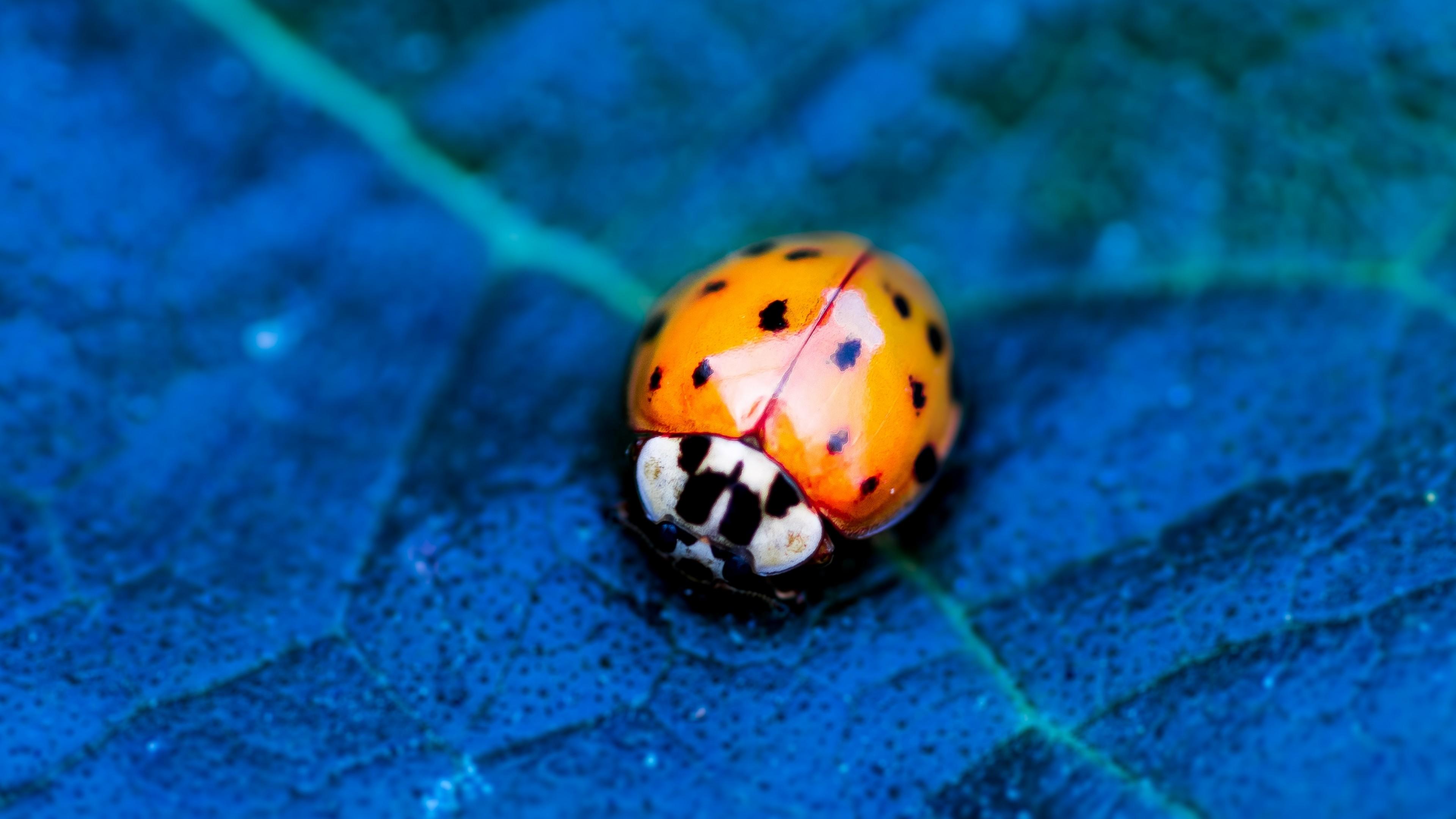 Wallpaper Ladybird Beetle Flower Blue Animals 10351