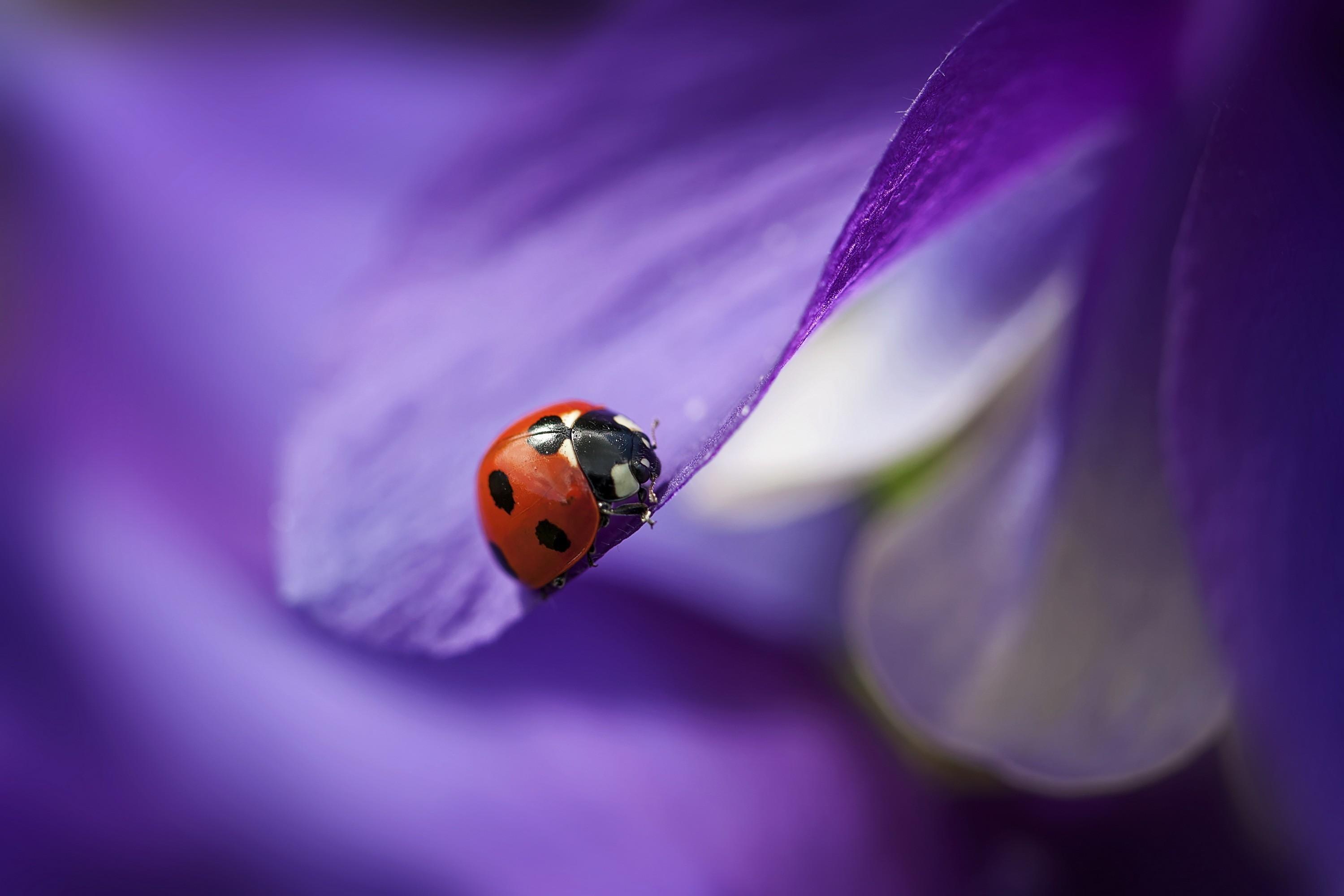 Eyes Of A Dragonfly Nature Dew Cute Macro Hd Wallpaper: Wallpaper Ladybug, Macro, Blur, Purple, Animals #4512