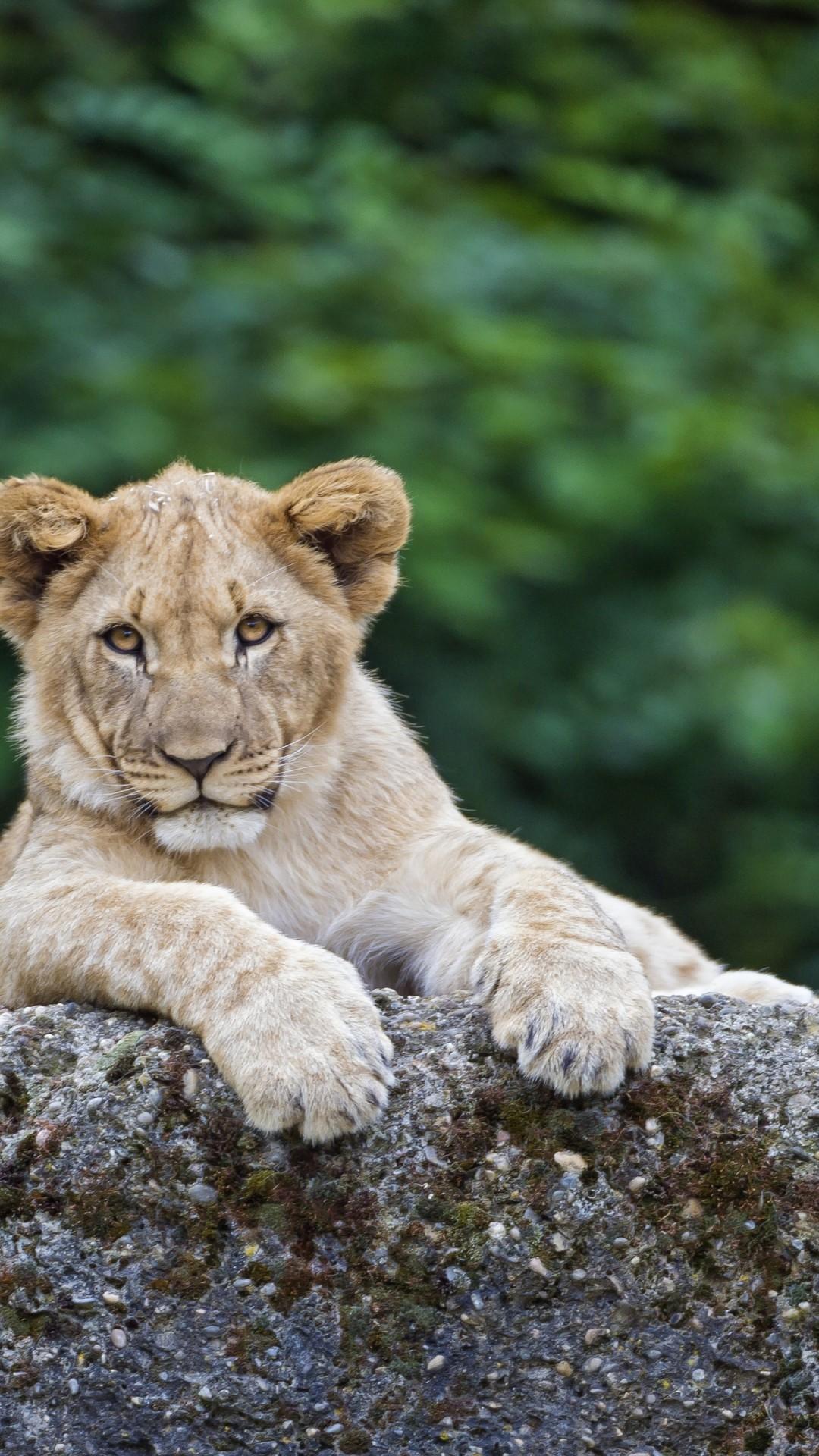 wallpaper lion  cute animals  4k  animals  20307