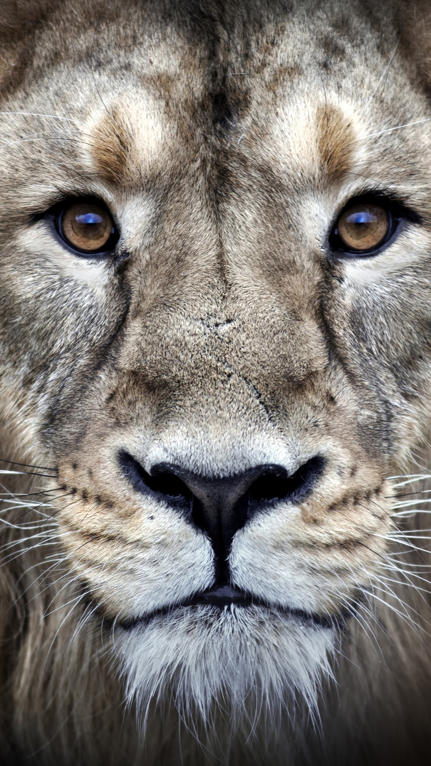 Wallpaper lion, 4k, Animals #16063