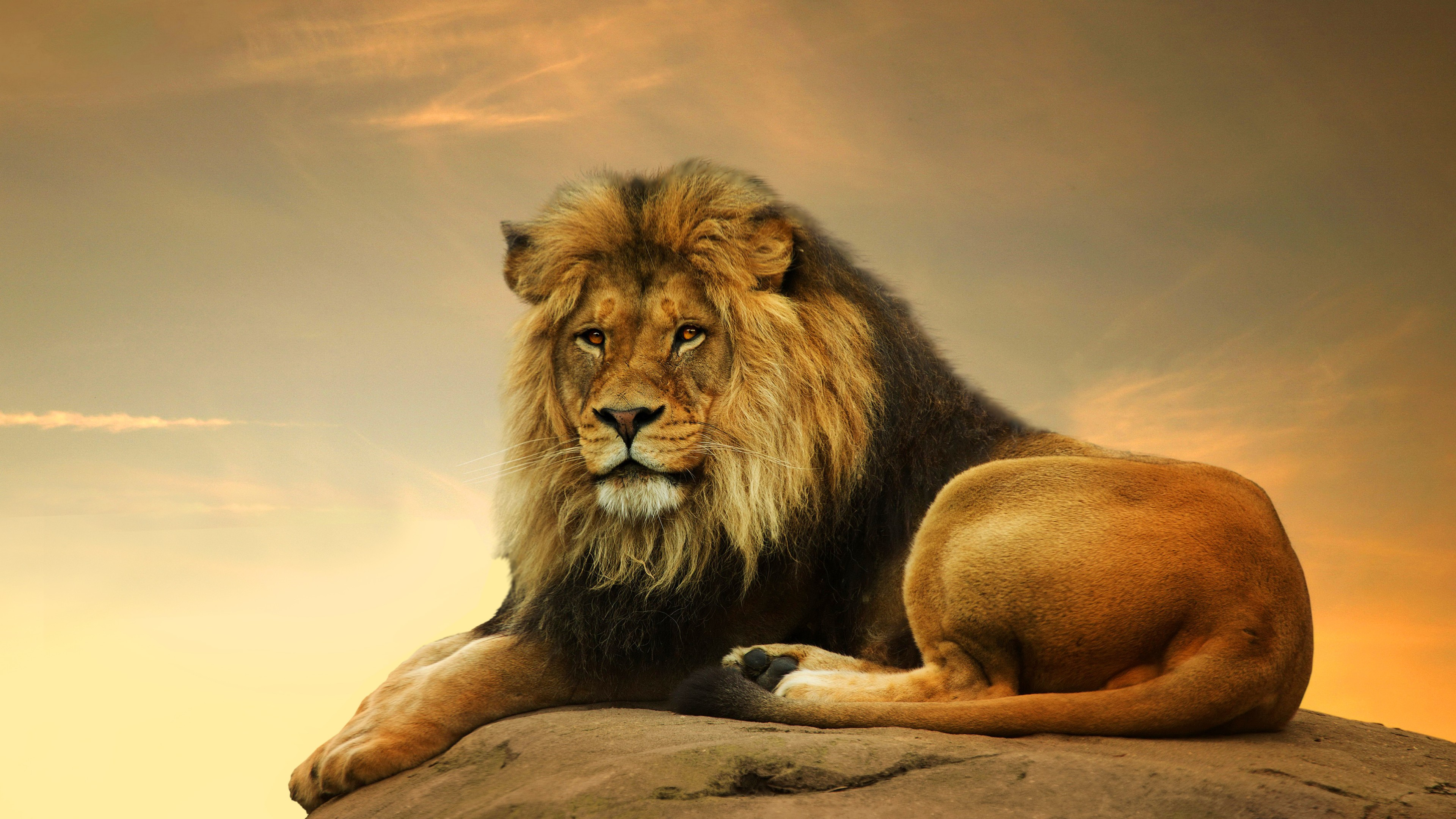 Wallpaper Lion Savanna Cute Animals Animals 4506