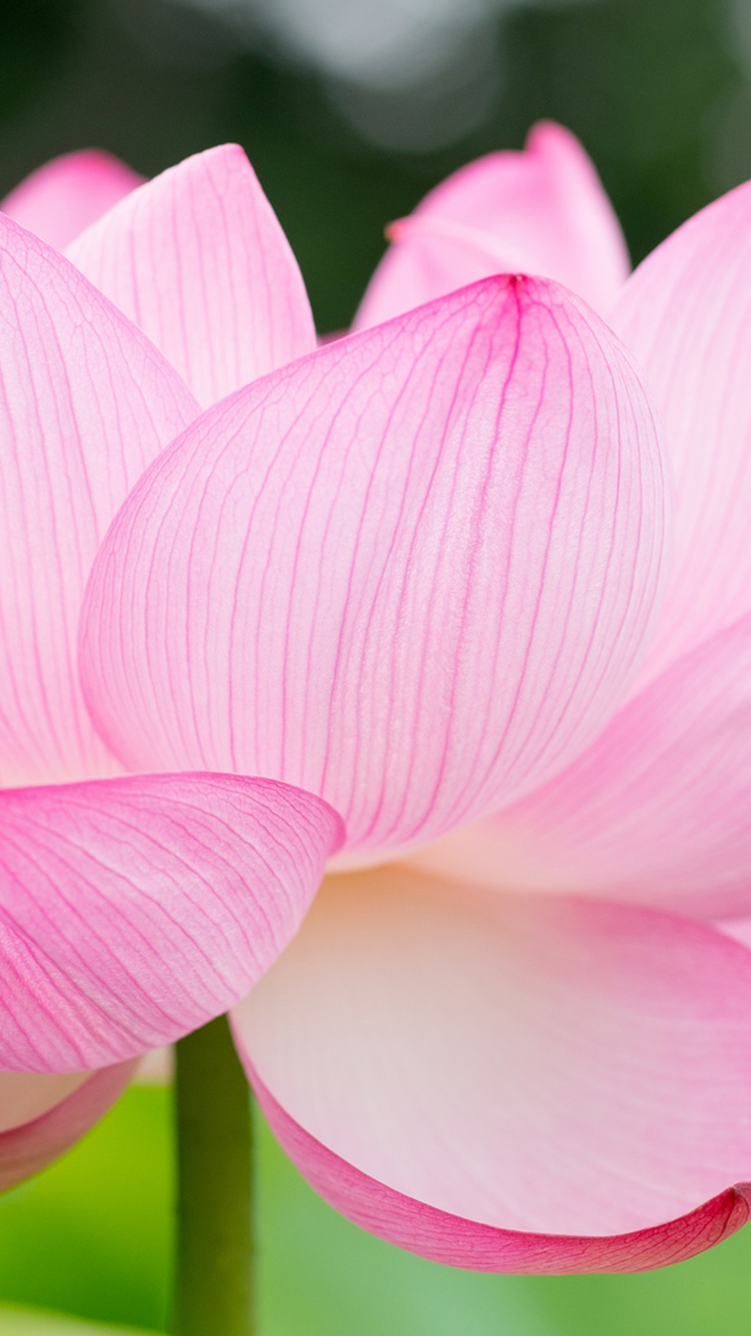 Wallpaper Lotus Flower 4k Nature 16051