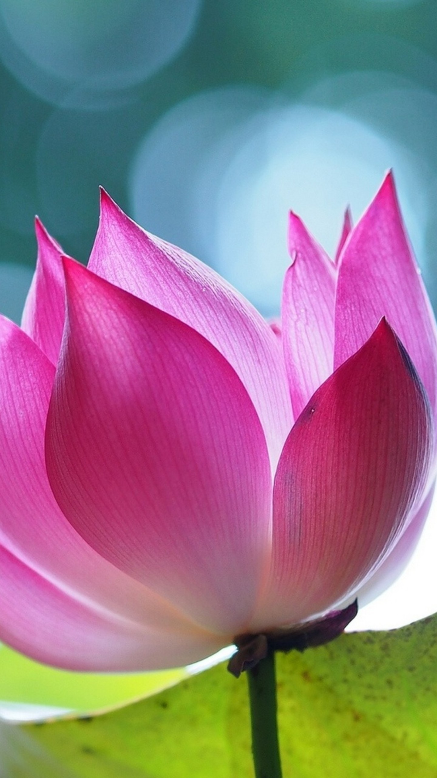 Wallpaper Lotus Flower 4k Nature 16038