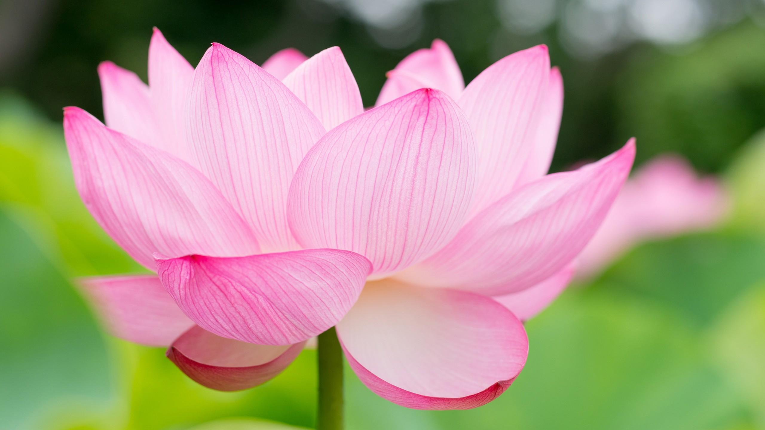 Luxury Lotus Motorcycle Hd Wallpapers And Desktop: Wallpaper Lotus, Flower, 4k, Nature #16051