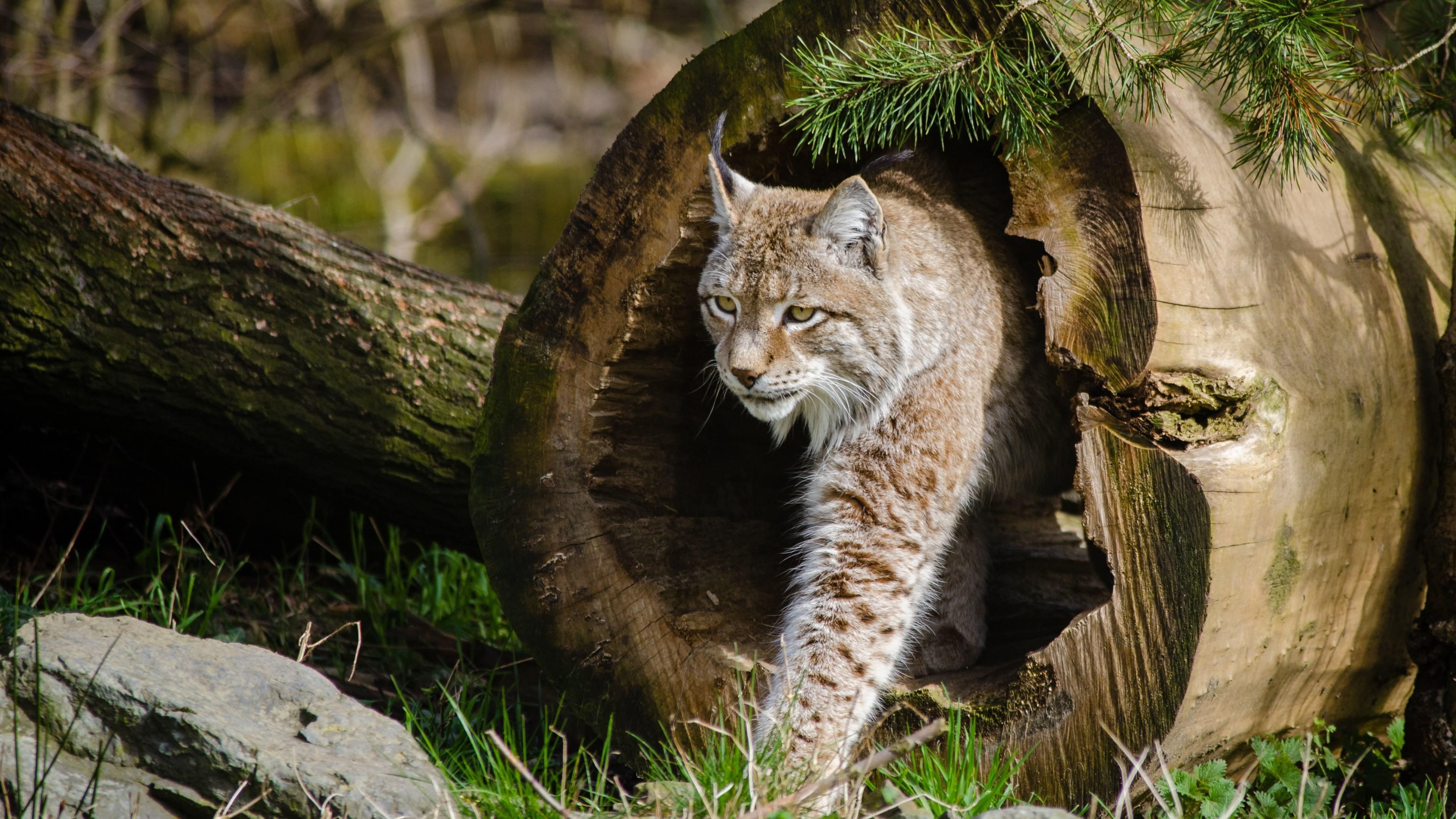 Wallpaper Lynx World S Dangerous Animals Wild Cats
