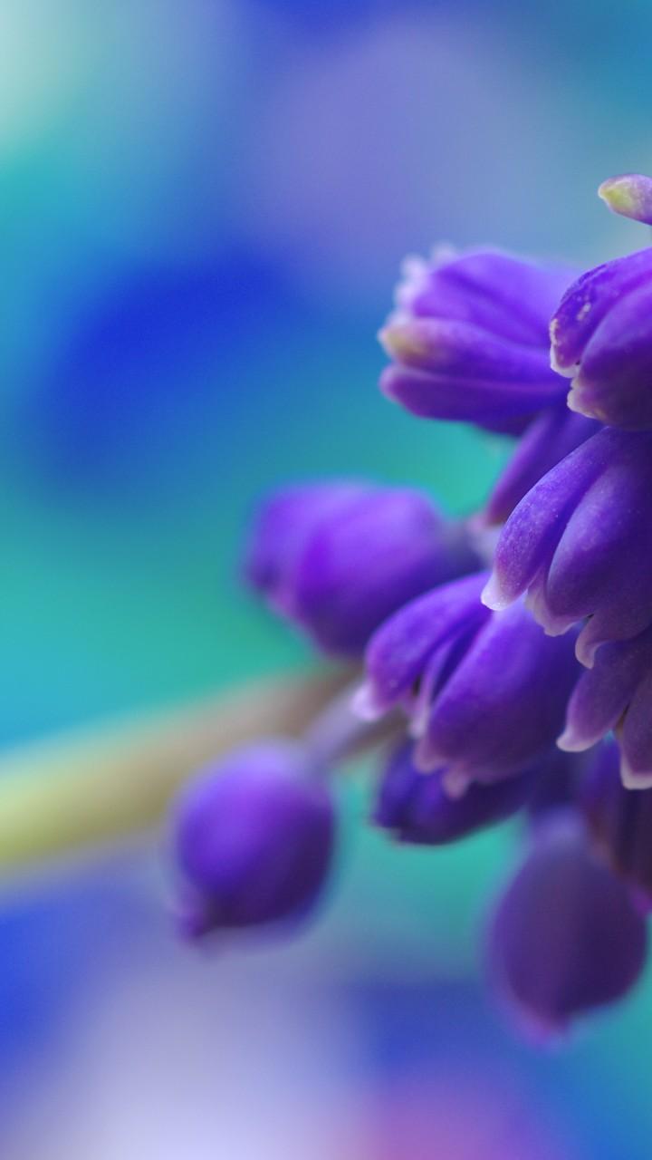 Wallpaper Muscari 5k 4k Wallpaper Flowers Purple Os 4392