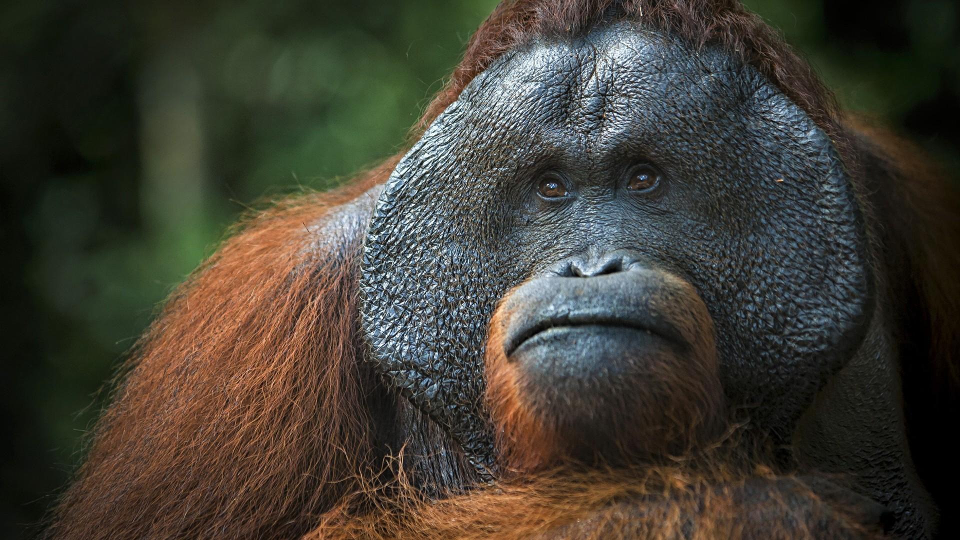 Wallpaper Orangutan Brown 4k Animals 19456
