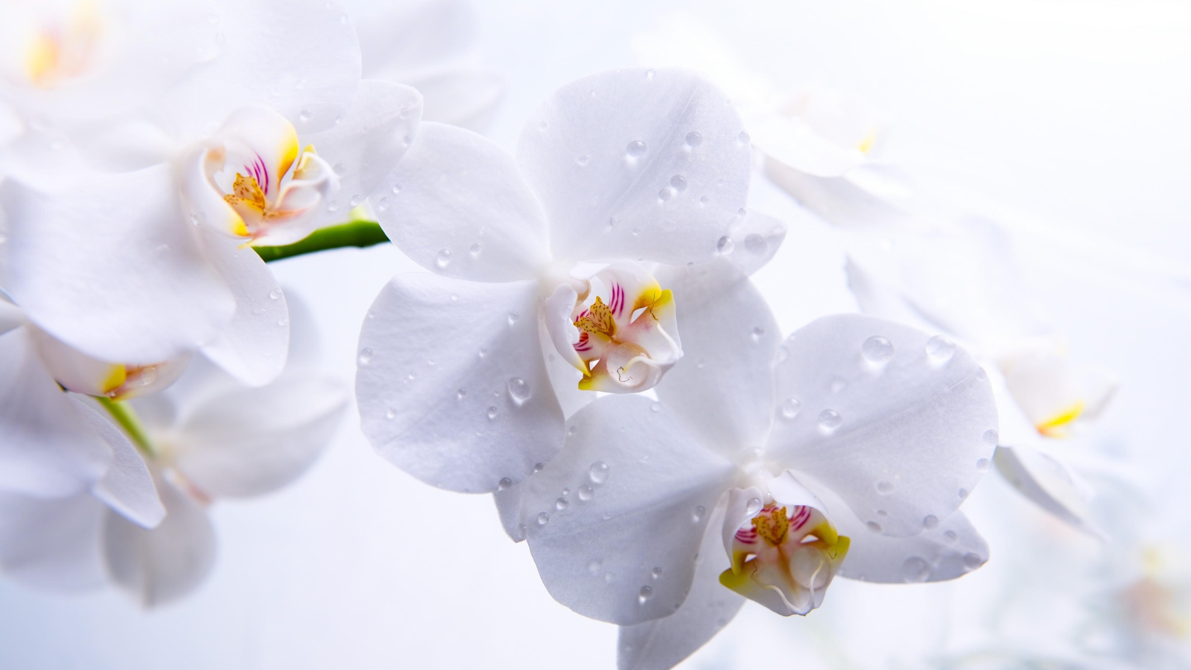 Wallpaper Orchid 5k 4k wallpaper flowers macro white