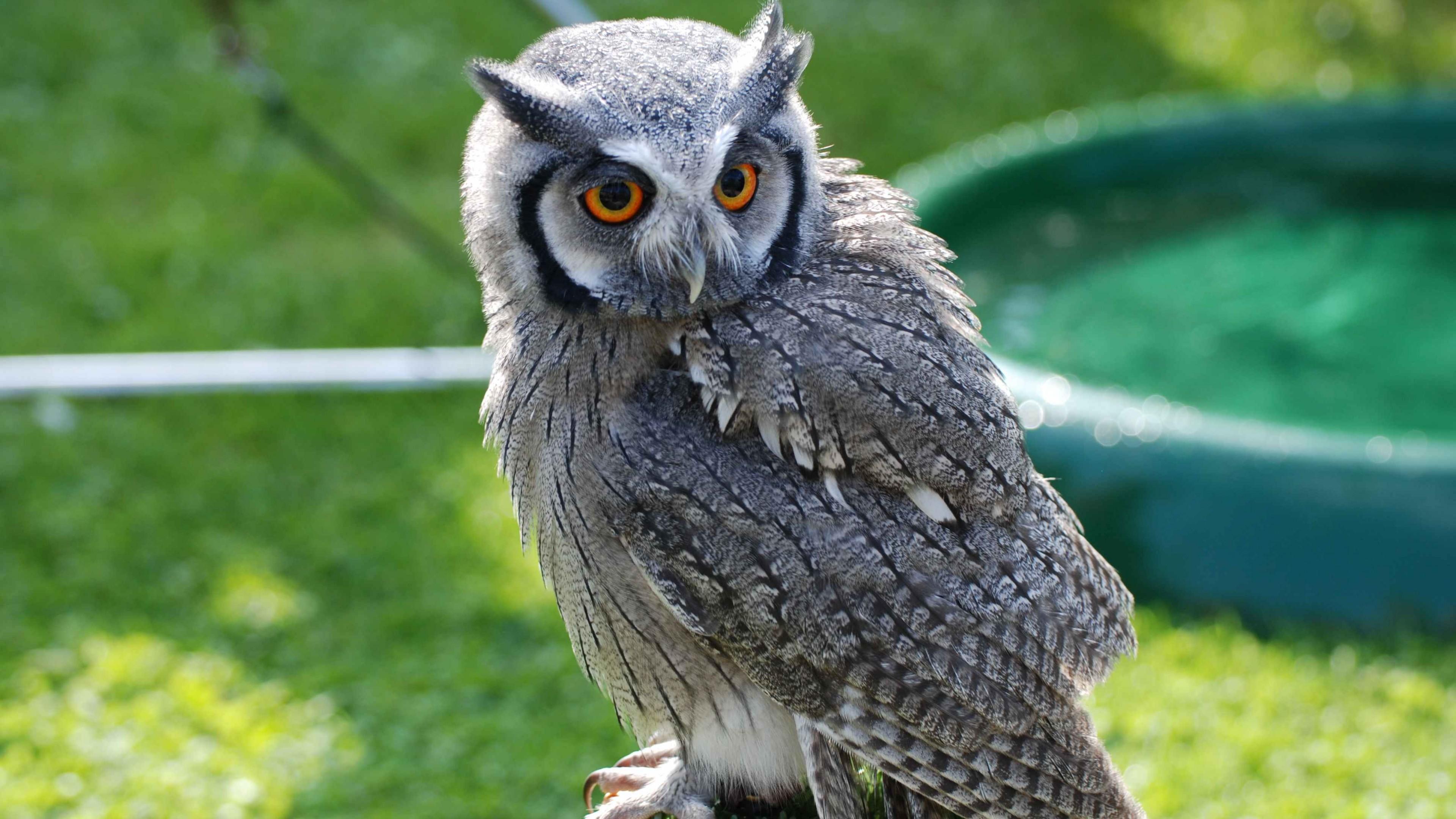 Wallpaper Owl Bird Of Pray Antarctica Bird Nature