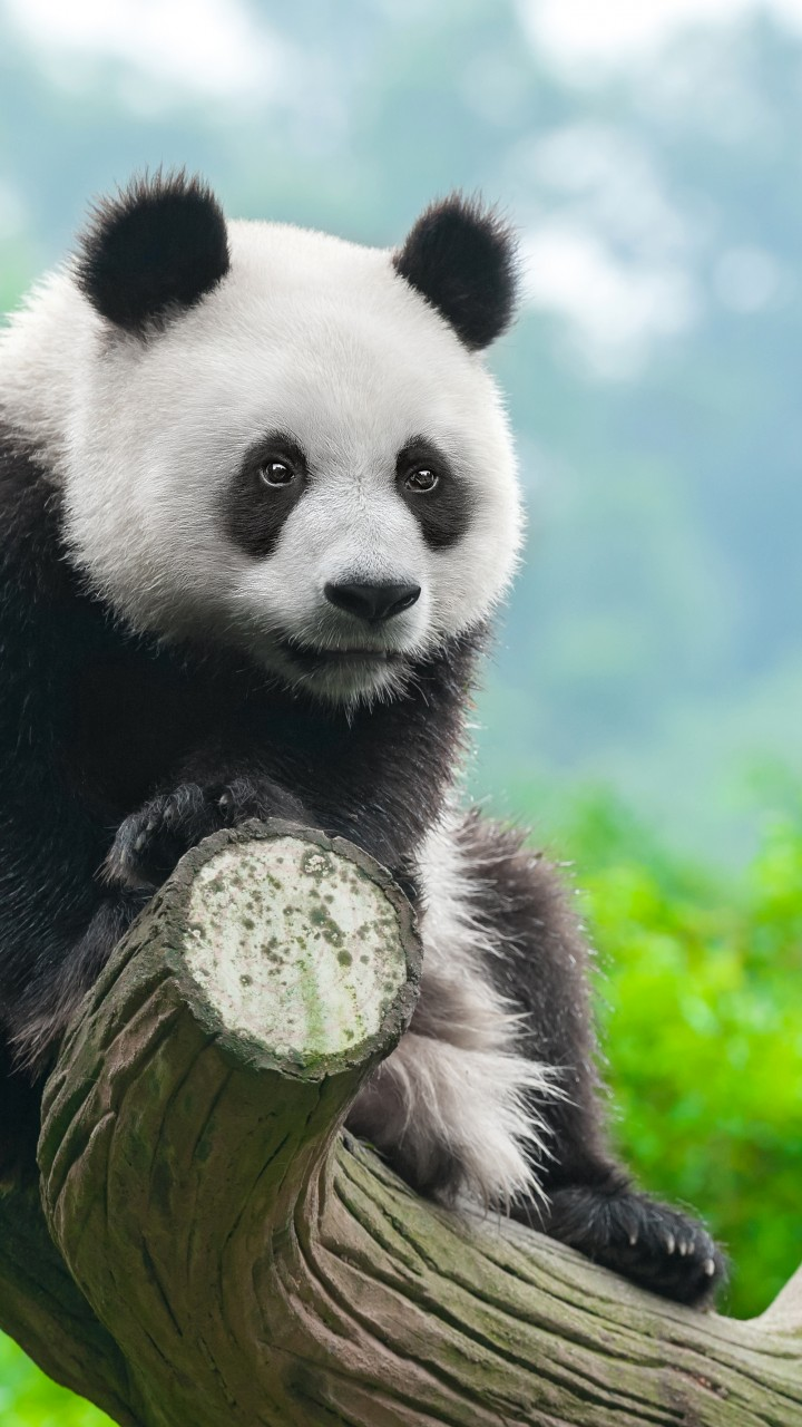 Wallpaper panda cute animals 4k Animals 14878
