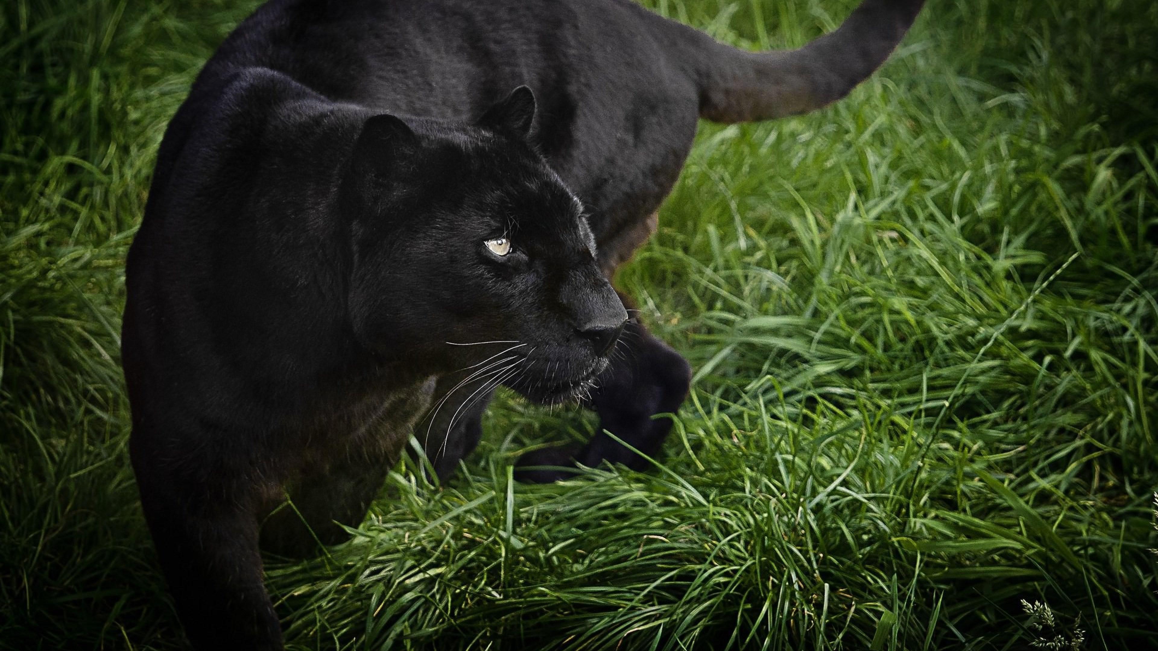 Wallpaper panther, black, 4k, Animals #15442
