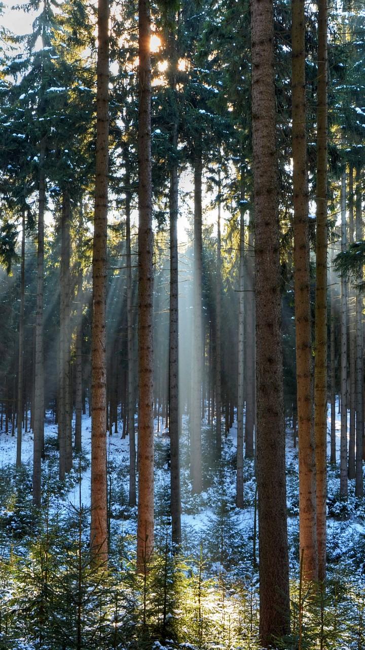 Wallpaper Pines 5k 4k Wallpaper Wood Sunlight Sunrise
