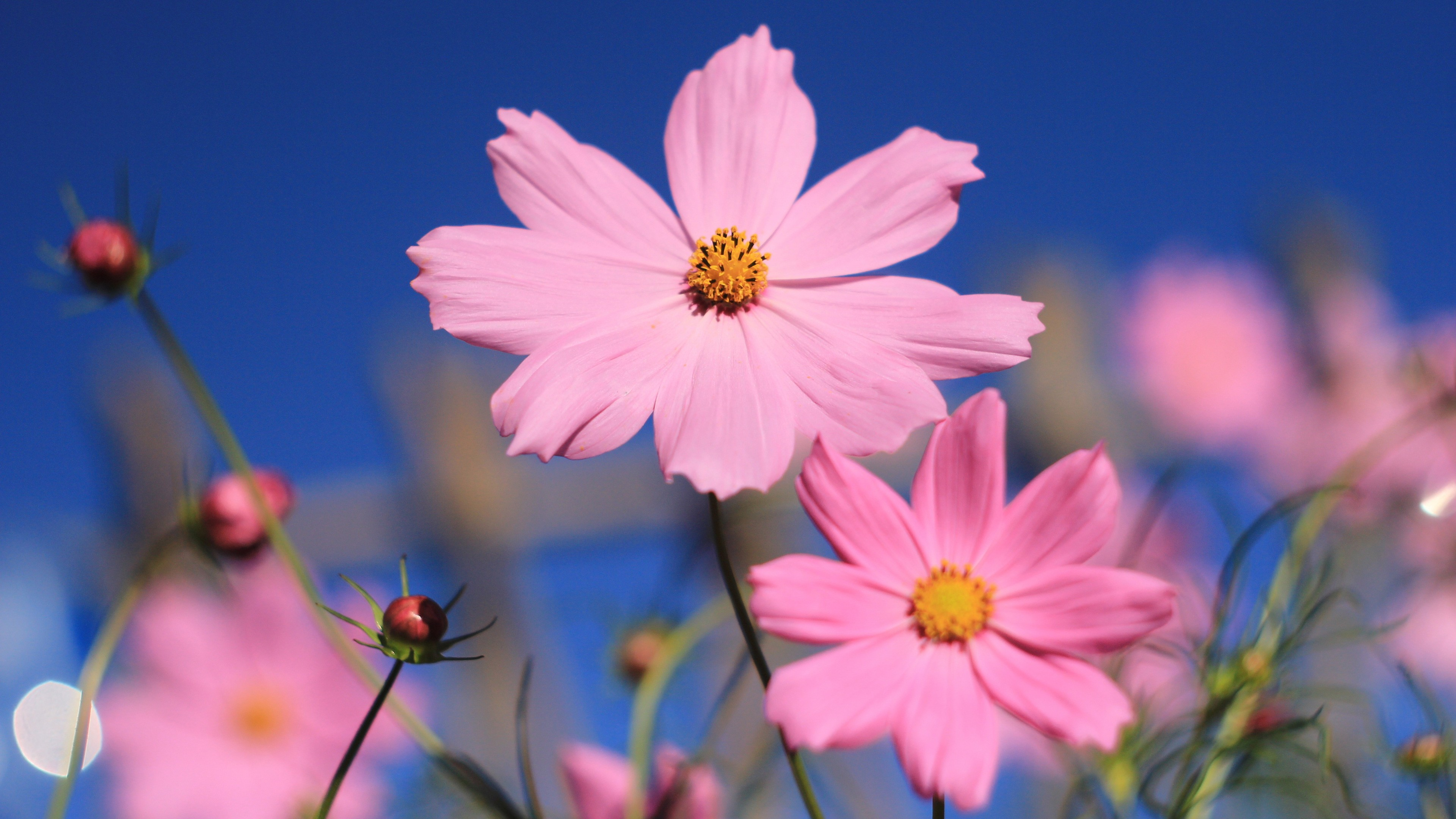 Wallpaper pink, 4k, HD wallpaper, flower, summer, Nature ...