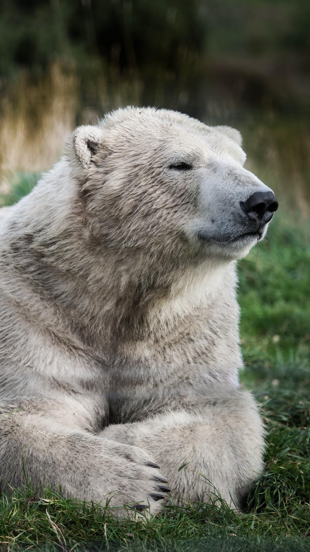 Wallpaper Polar Bear Look Cute Animals 4532