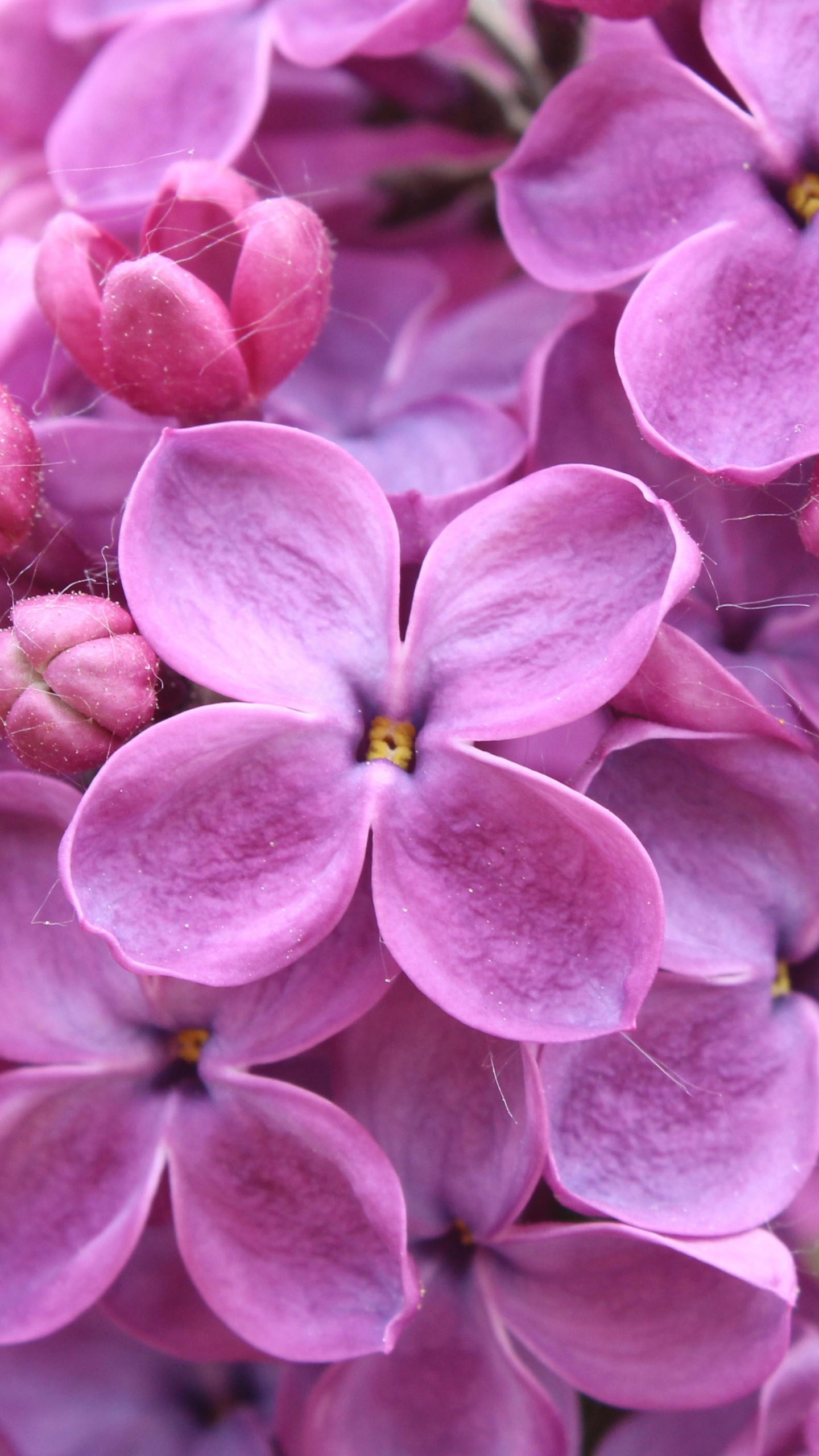 Wallpaper Purple 5k 4k Wallpaper 8k Lilac Flowers Nature 9661