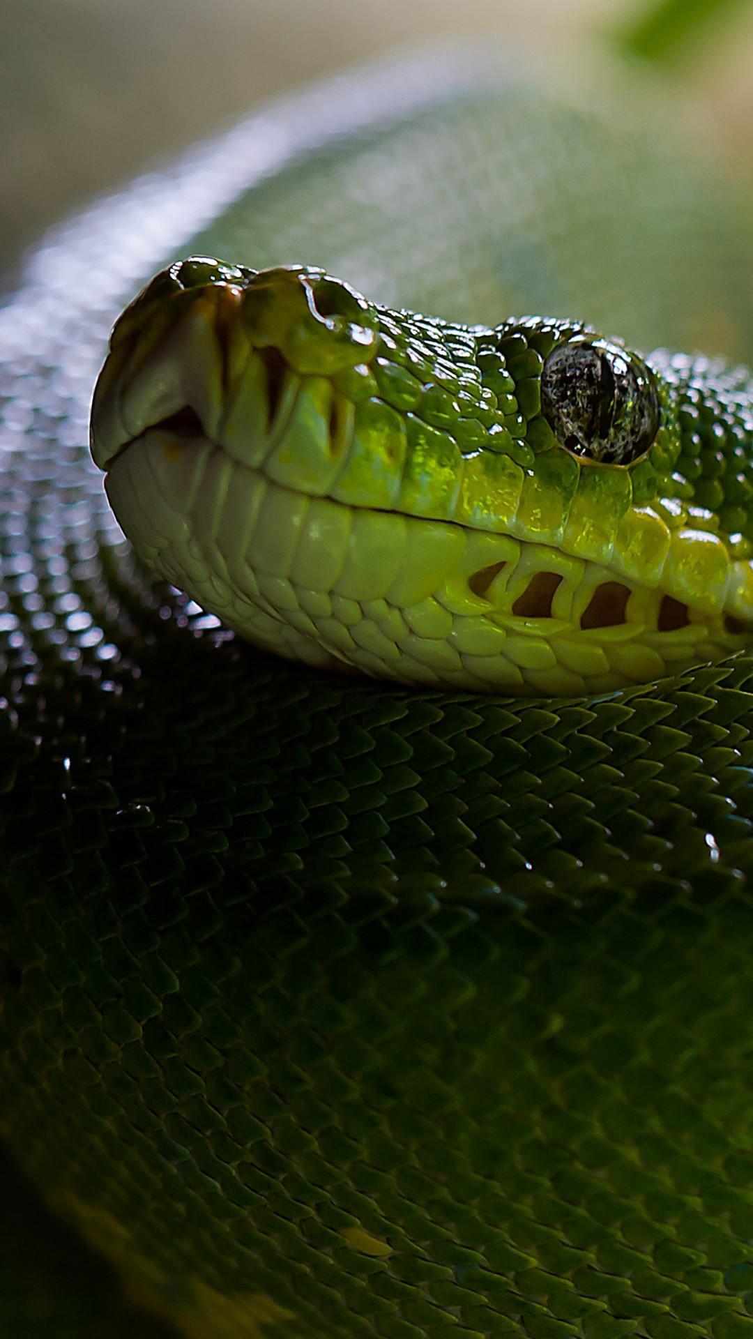 Wallpaper Python Snake Head Scales Green Boa Animals
