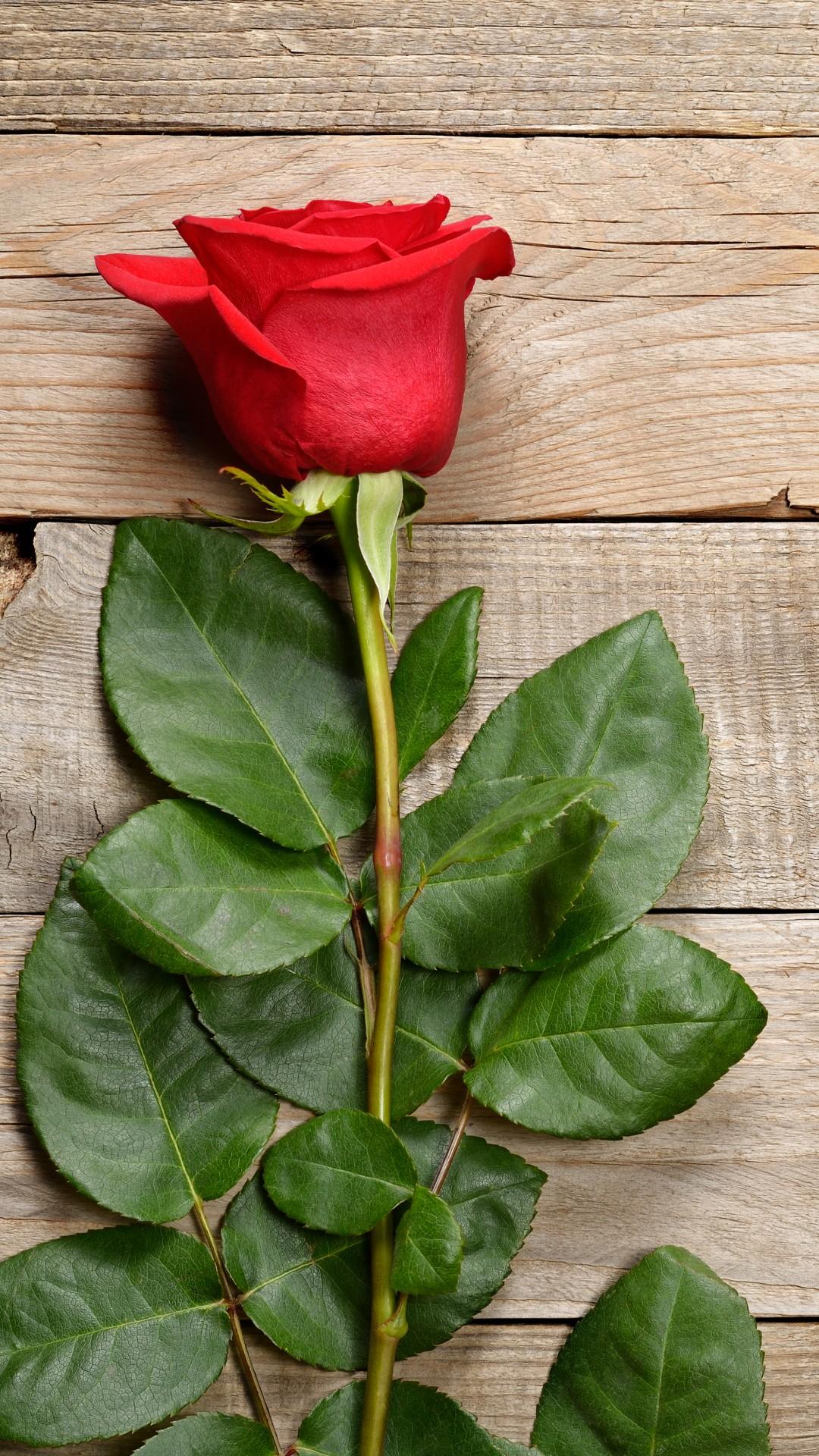 wallpaper rose, flower, 5k, nature #16781