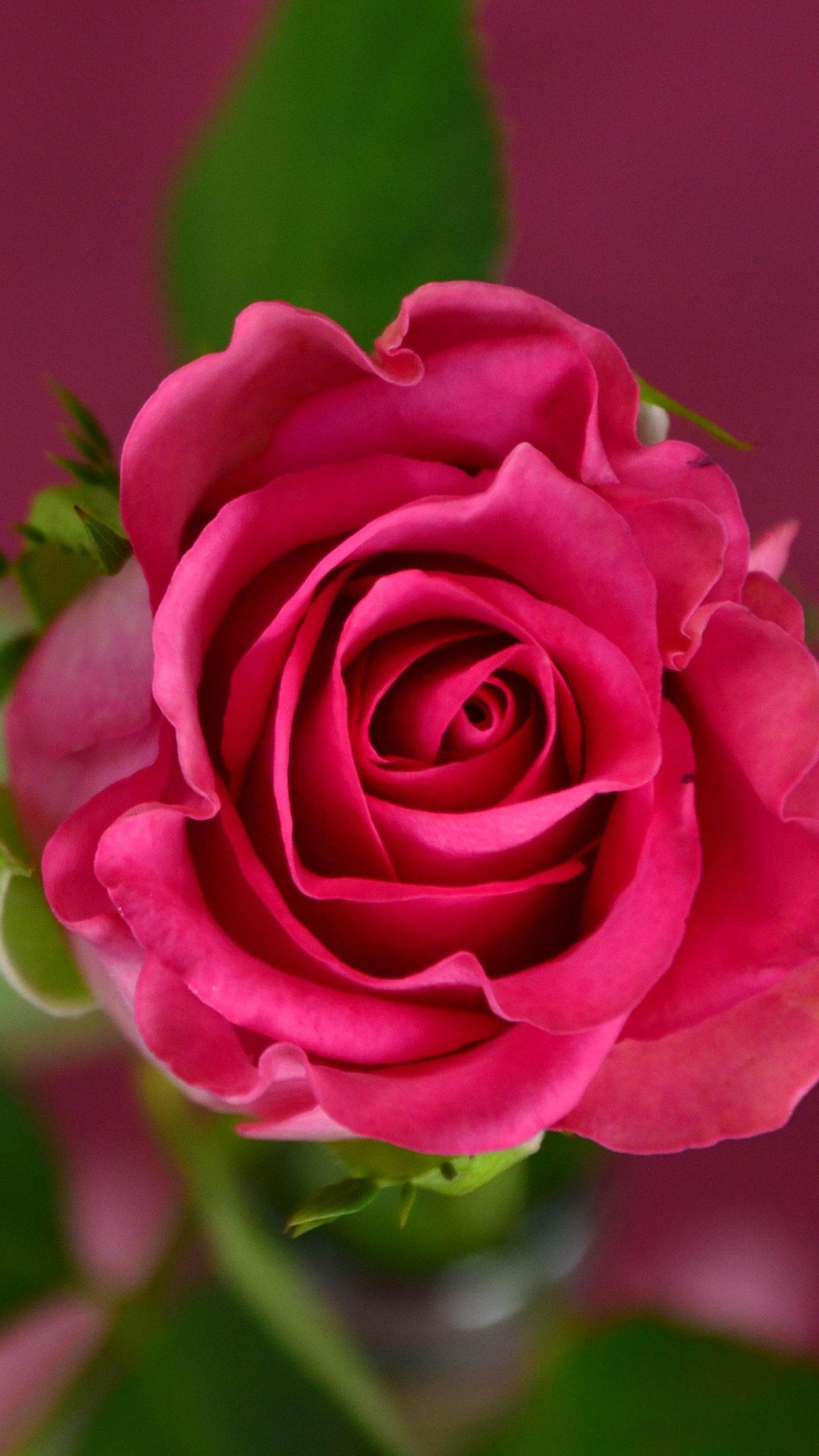 Wallpaper rose 4k hd wallpaper pink spring flower - Rose flowers wallpaper for mobile ...