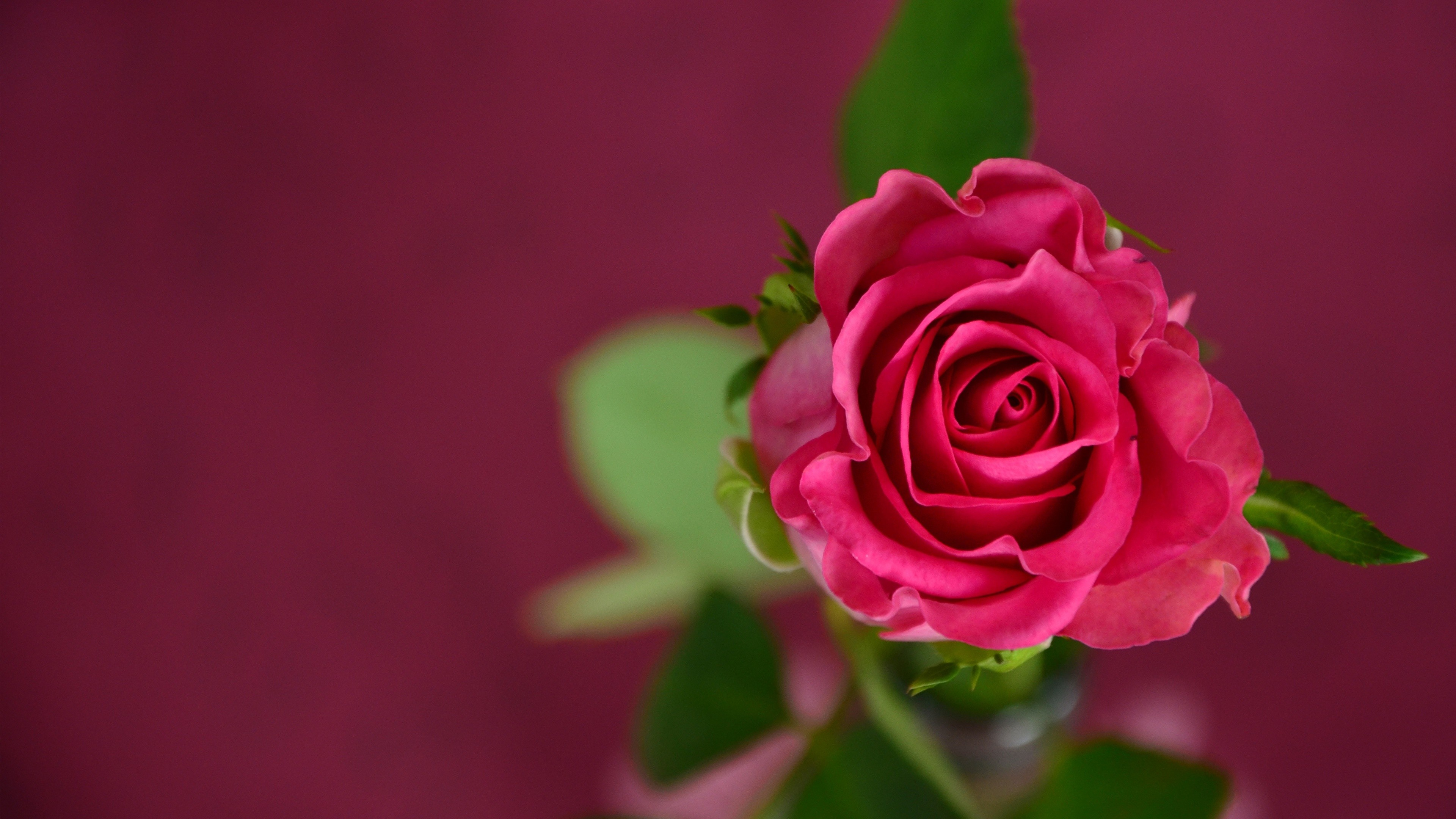 Wallpaper rose 4k hd wallpaper pink spring flower - Pink rose hd wallpaper ...