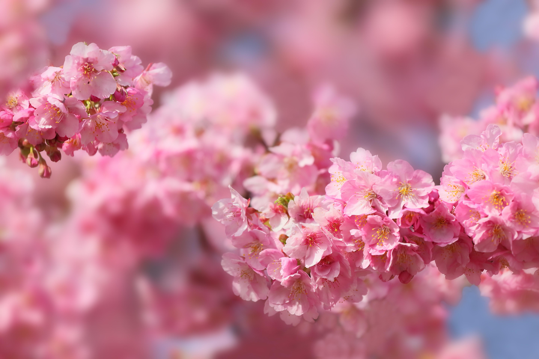 Wallpaper sakura blossom spring trees 5k Nature