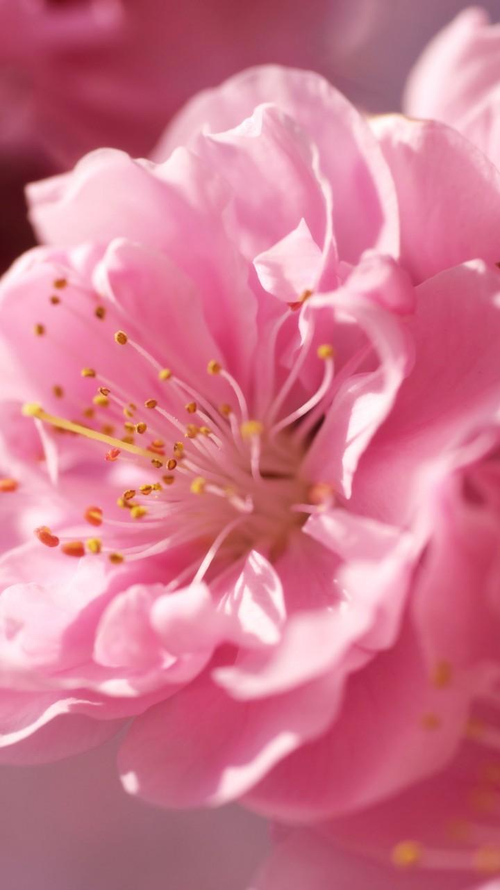 Wallpaper sakura, 4k, HD wallpaper, pink, spring, flower ...   720 x 1280 jpeg 99kB