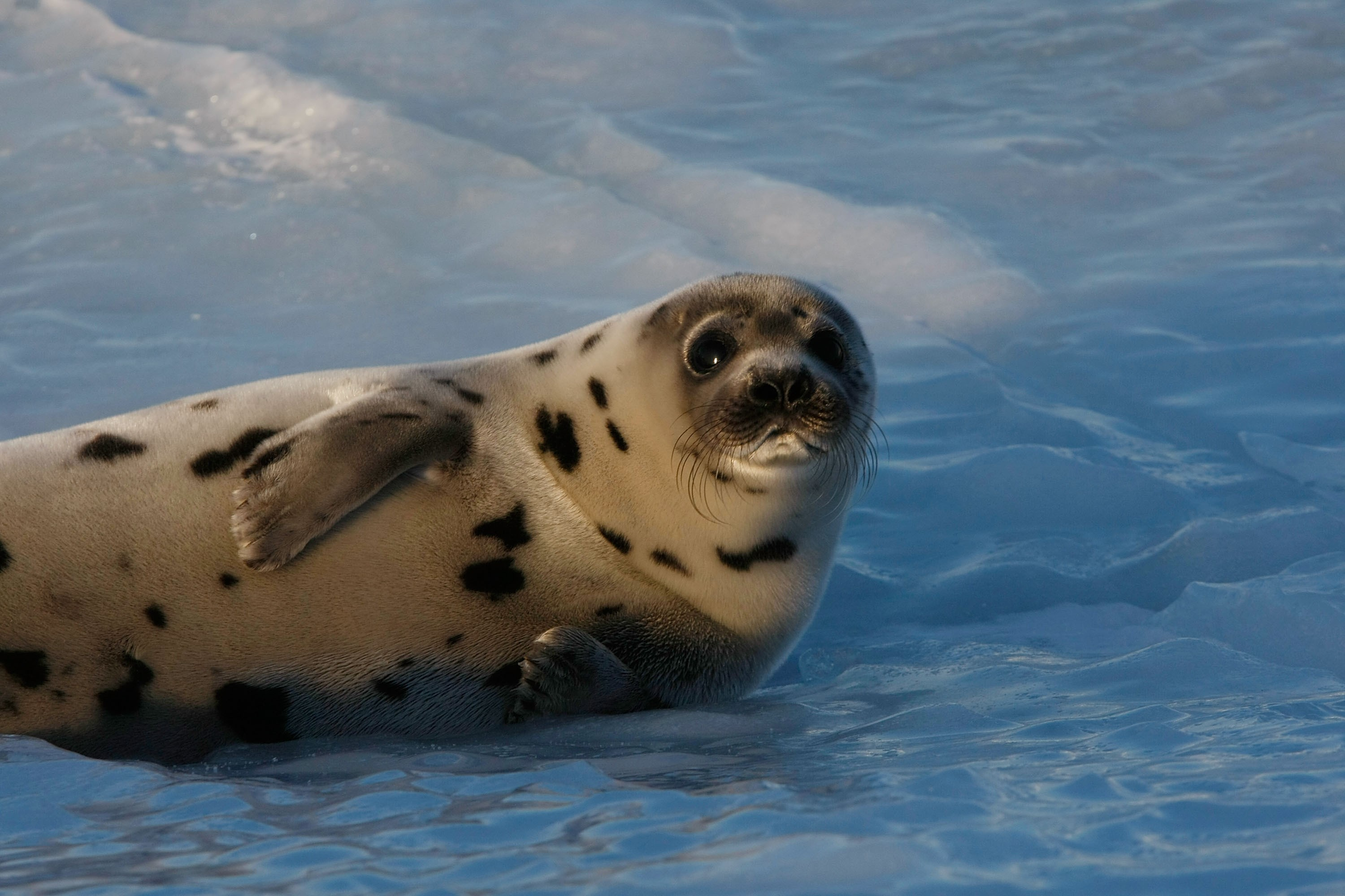 Wallpaper seal pup atlantic ocean snow funny animals 3857 wallpaper seal pup atlantic ocean snow funny animals 3857 hd wallpapers shouldnt be just a picture it should be a philosophy sciox Choice Image