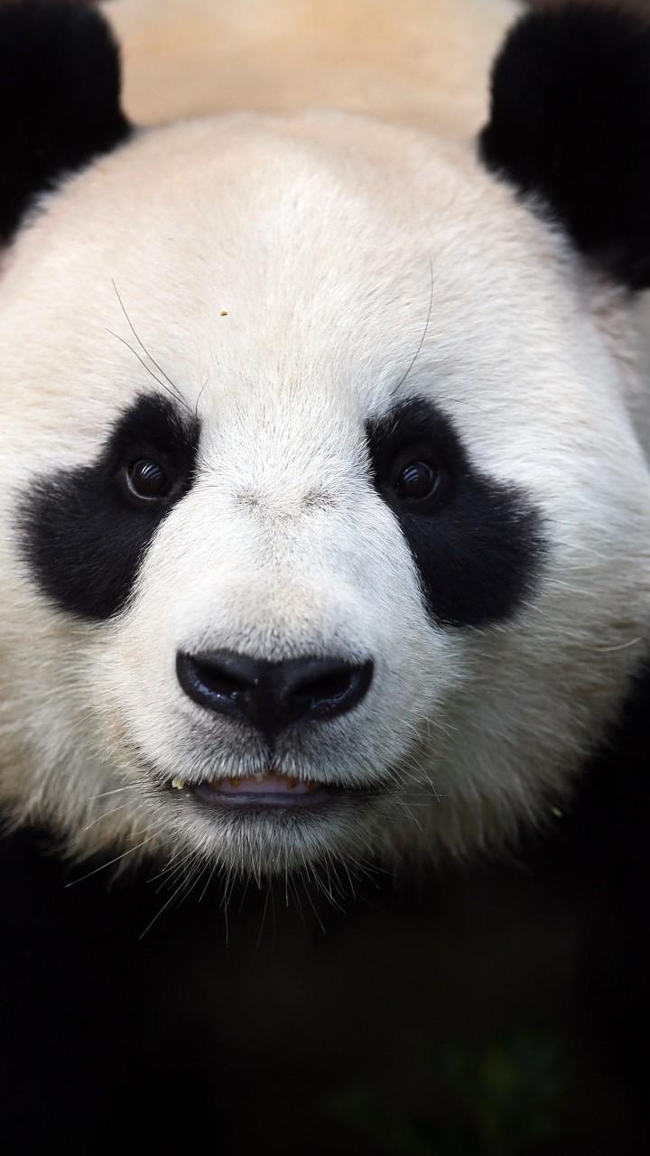 wallpaper  u0421hina panda  bears  china  animal  zoo  black