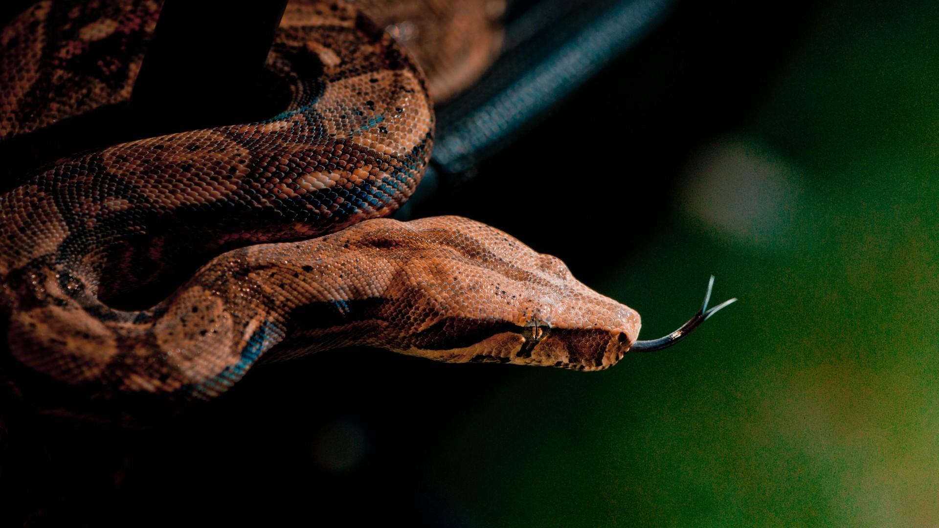 Wallpaper Snake, close-up, grey, brown, skin, animal