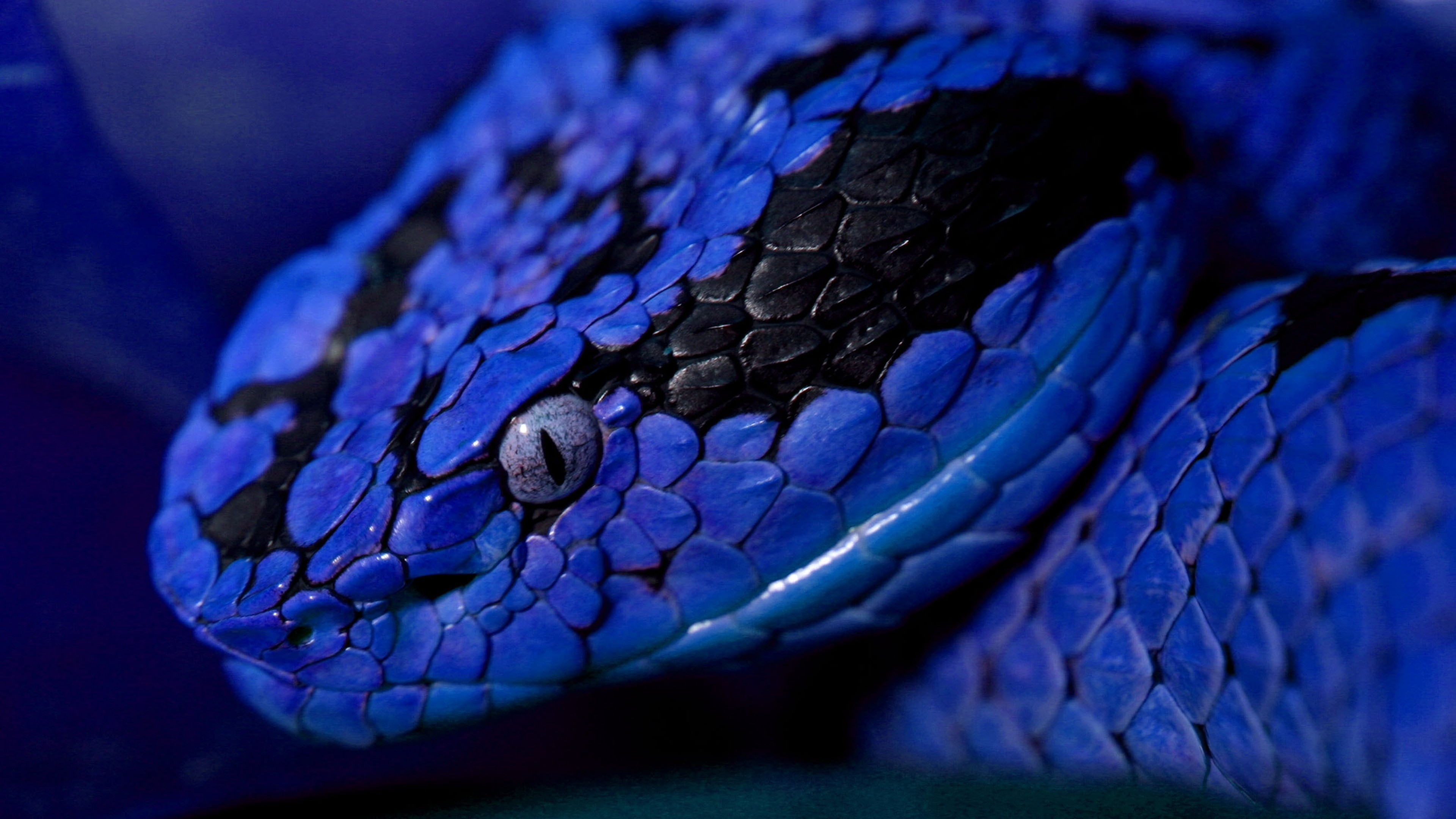 Wallpaper Snake Blue Danger Eyes Animals 10155