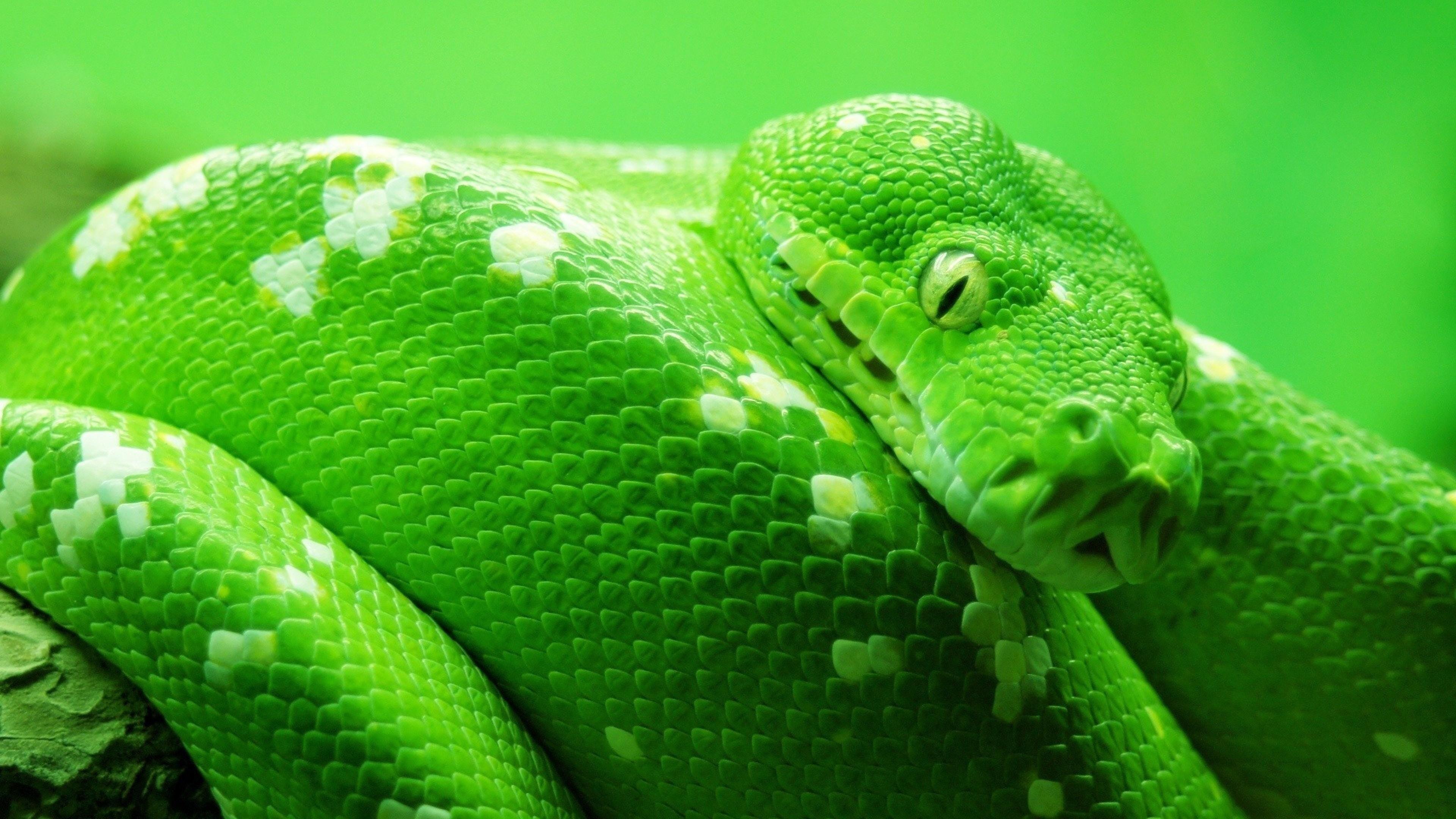 Wallpaper snake green 4k animals 14978 - Green snake hd wallpaper ...