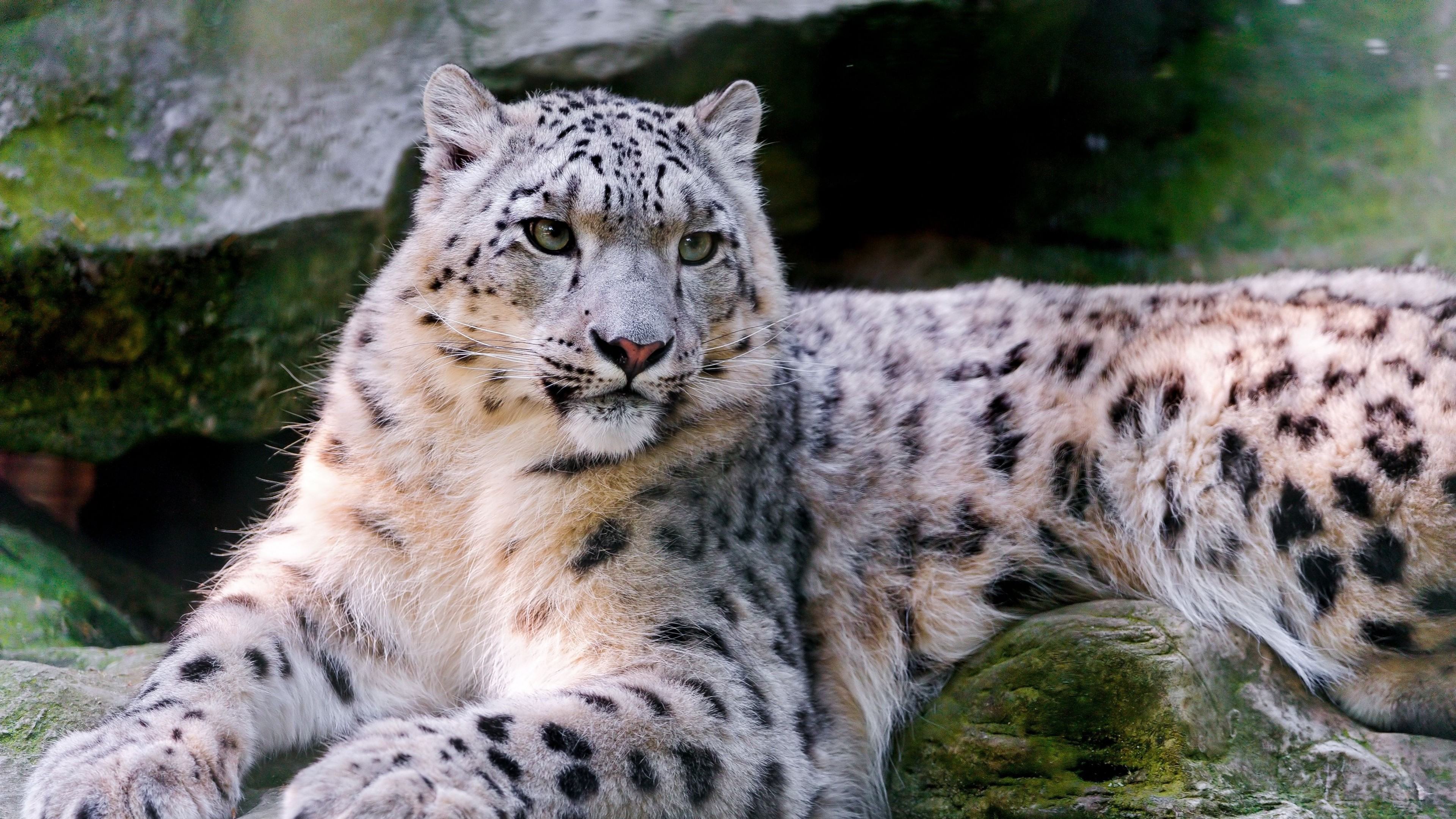 Wallpaper Snow Leopard Wild Nature Eyes Animals 596
