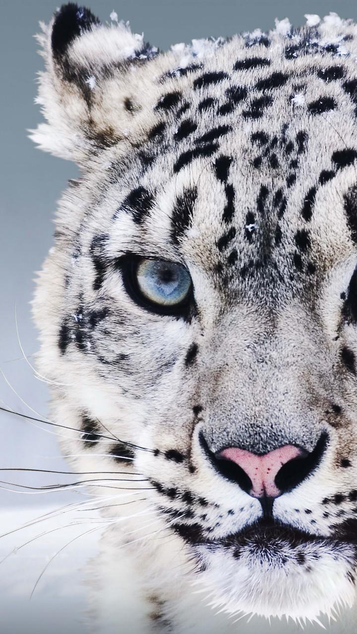 Wallpaper Snow Leopard China Blue Eyes Snow Animals 8257