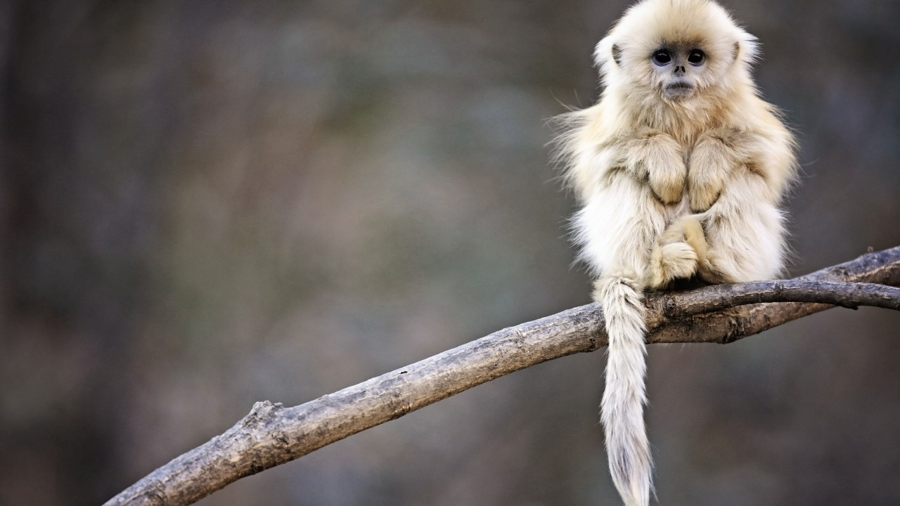 Wallpaper Snub Nosed Monkey Monkey Roxelana Wolong