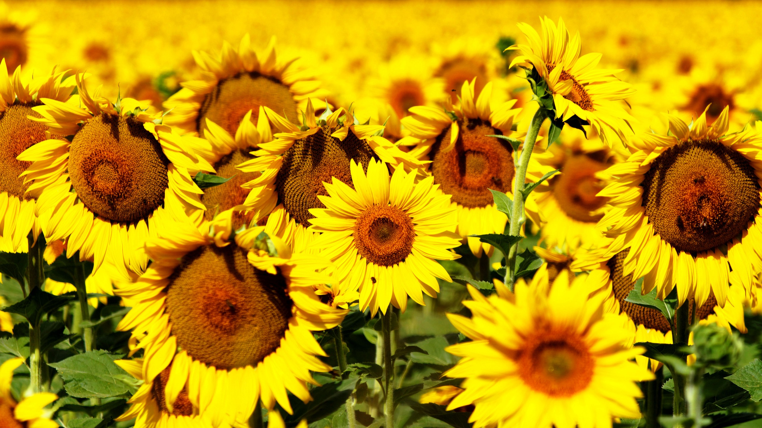 wallpaper sunflowers, 5k, 4k wallpaper, 8k, flowers, field, yellow