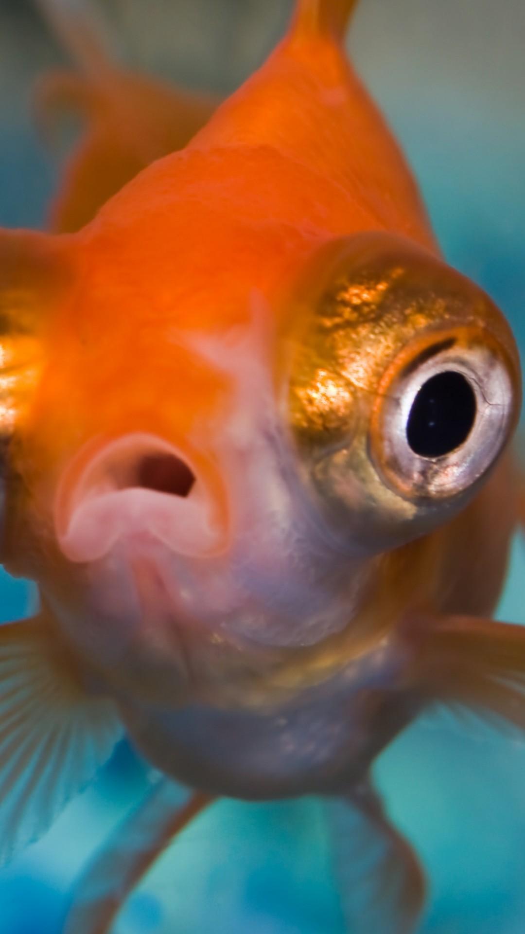 Wallpaper Telescope Goldfish Fish Animals 9947
