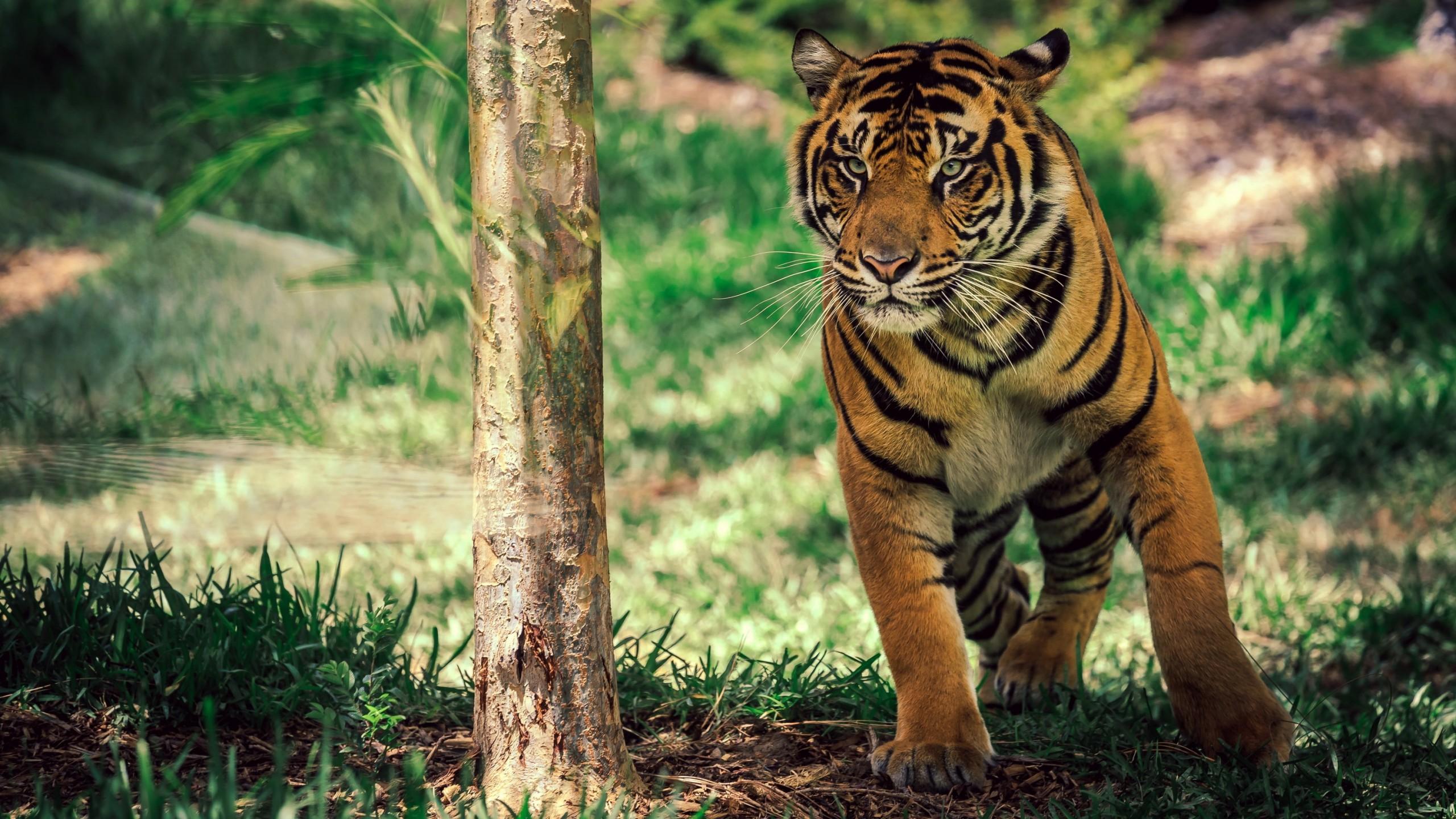 Wallpaper Tiger, Savanna, Cute Animals, Animals #4522