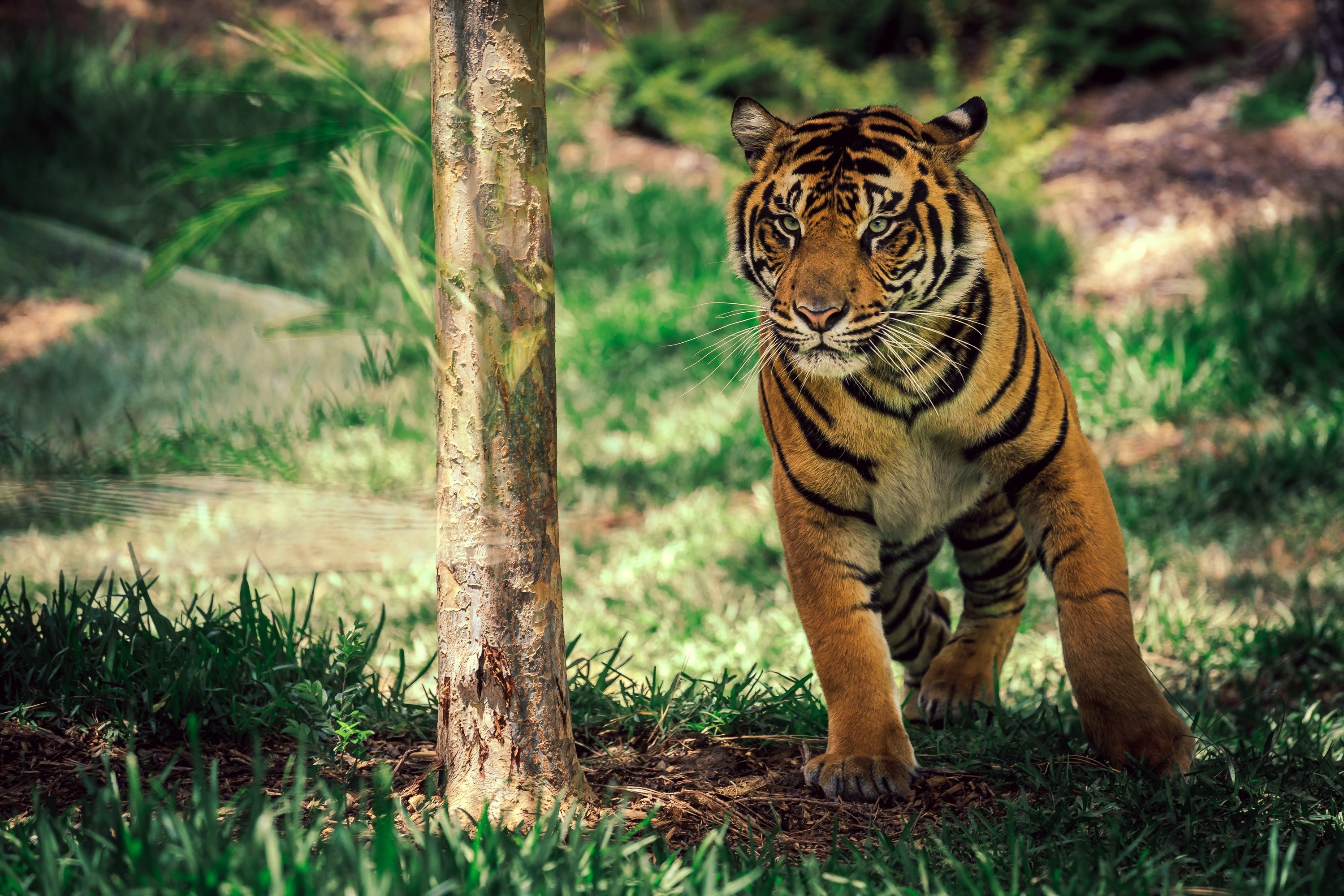 Tiger Savanna Cute Animals 4522