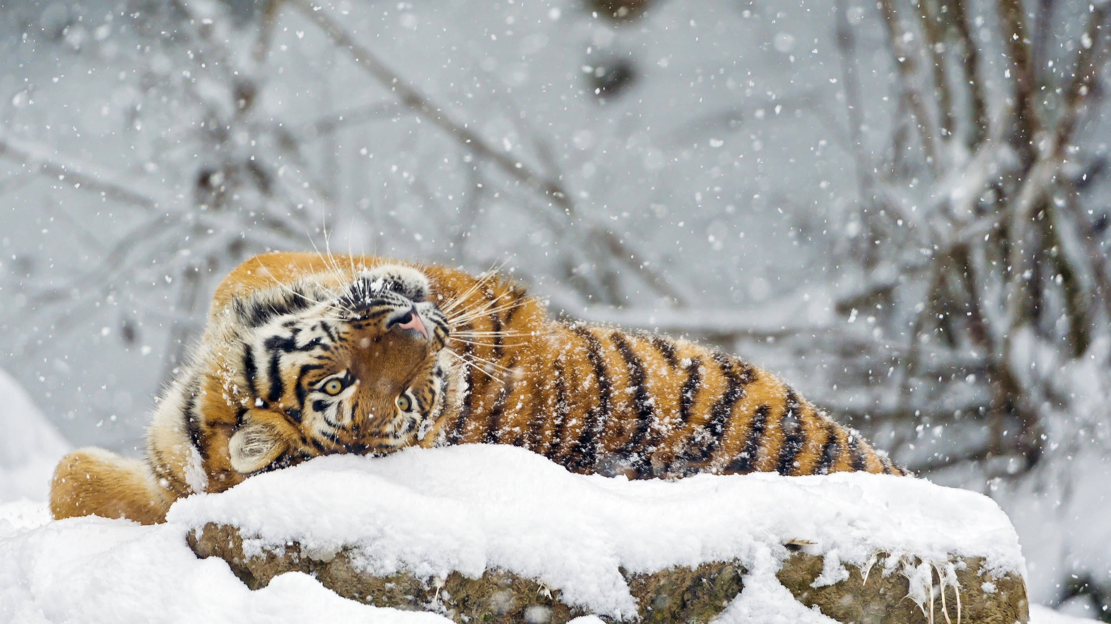 Animals Tiger Snow Wallpapers Hd Desktop And Mobile: Wallpaper Tiger, Cute Animals, Snow, Winter, 4k, Animals