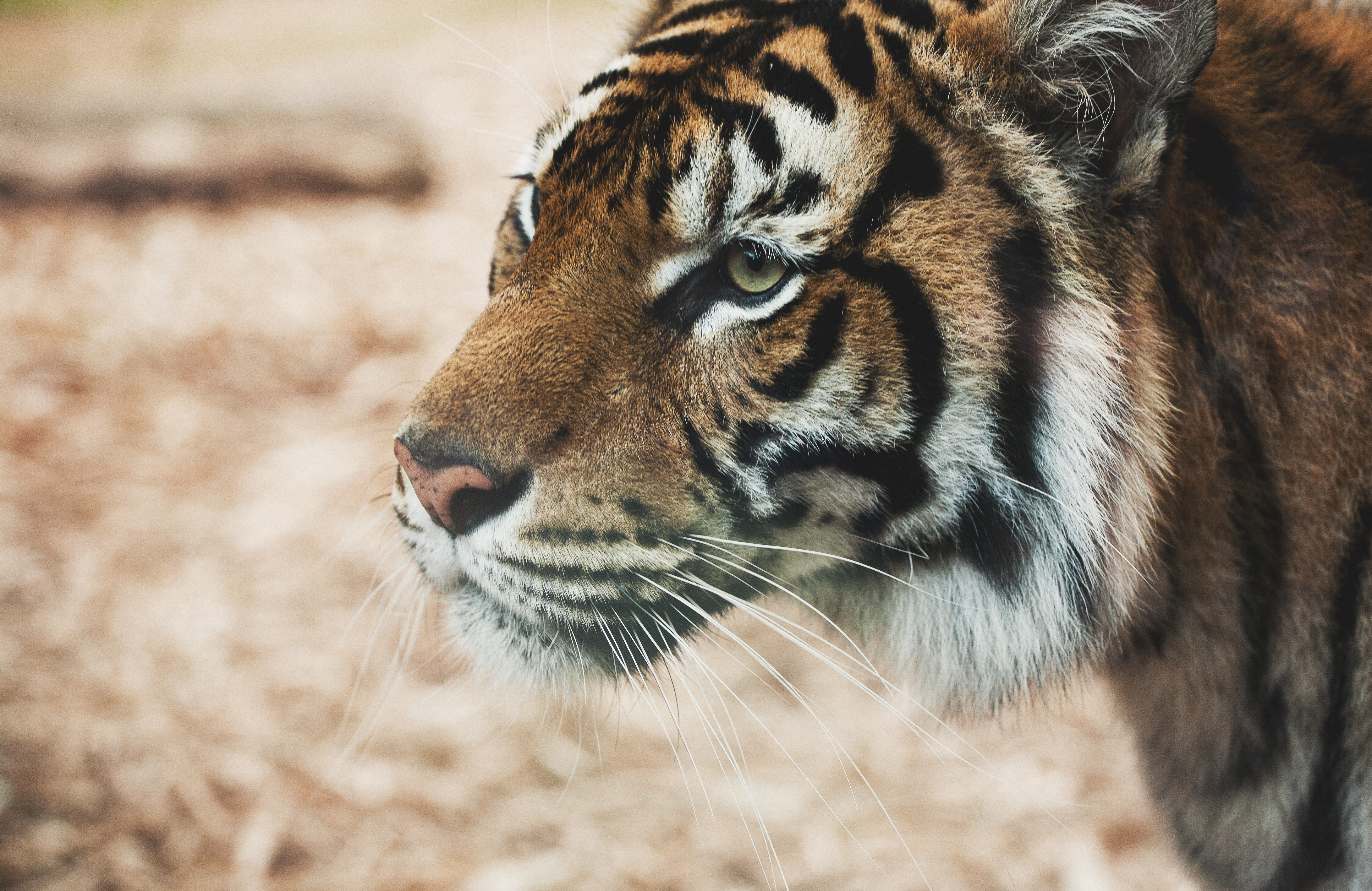a look at the wonderful species tigers A tiger's stripes are like a human fingerprint, no two tigers have the same pattern scientific name: one third of known species are under threat.