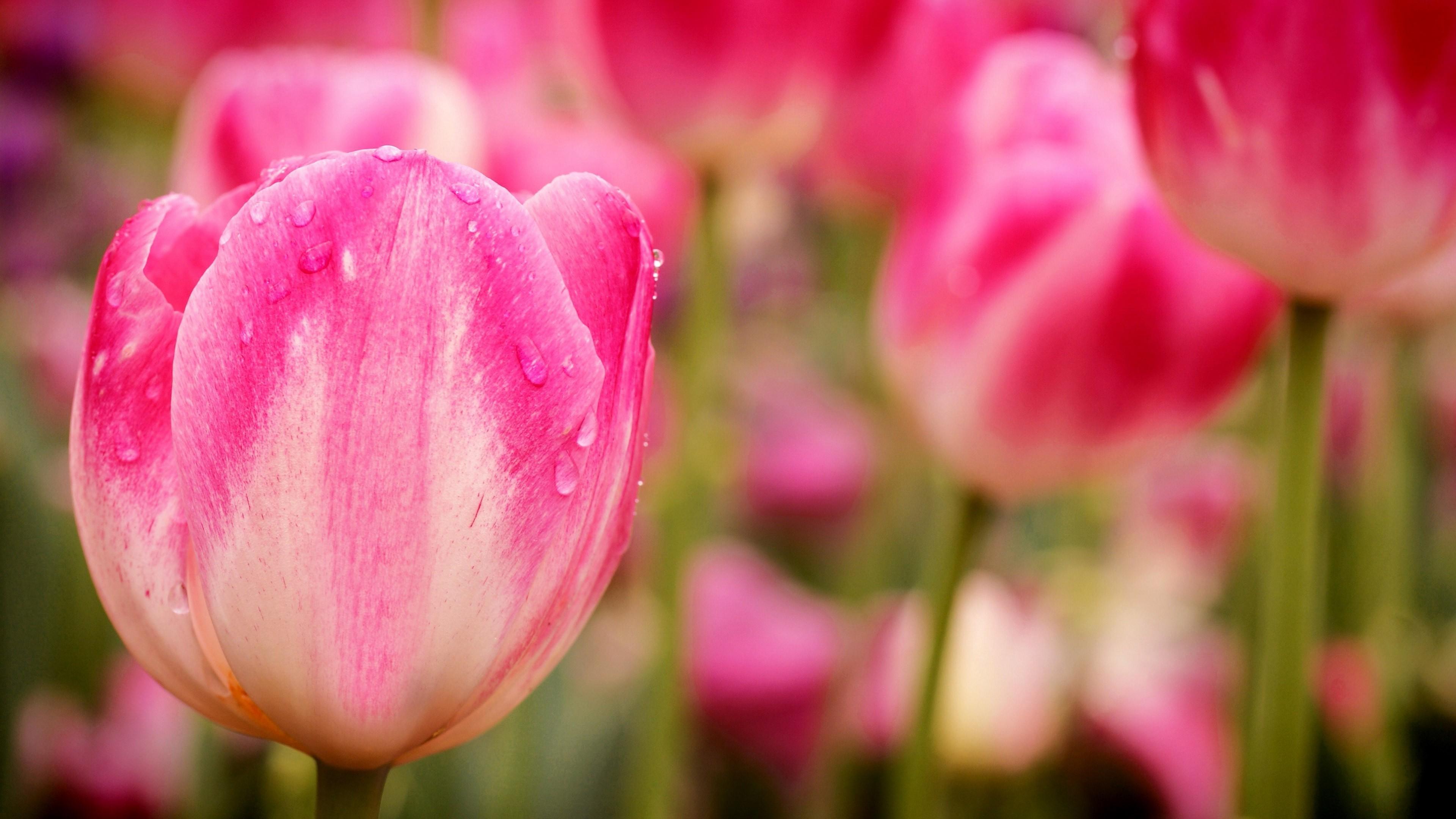 Wallpaper Tulips 5k 4k Wallpaper Flowers Macro Pink