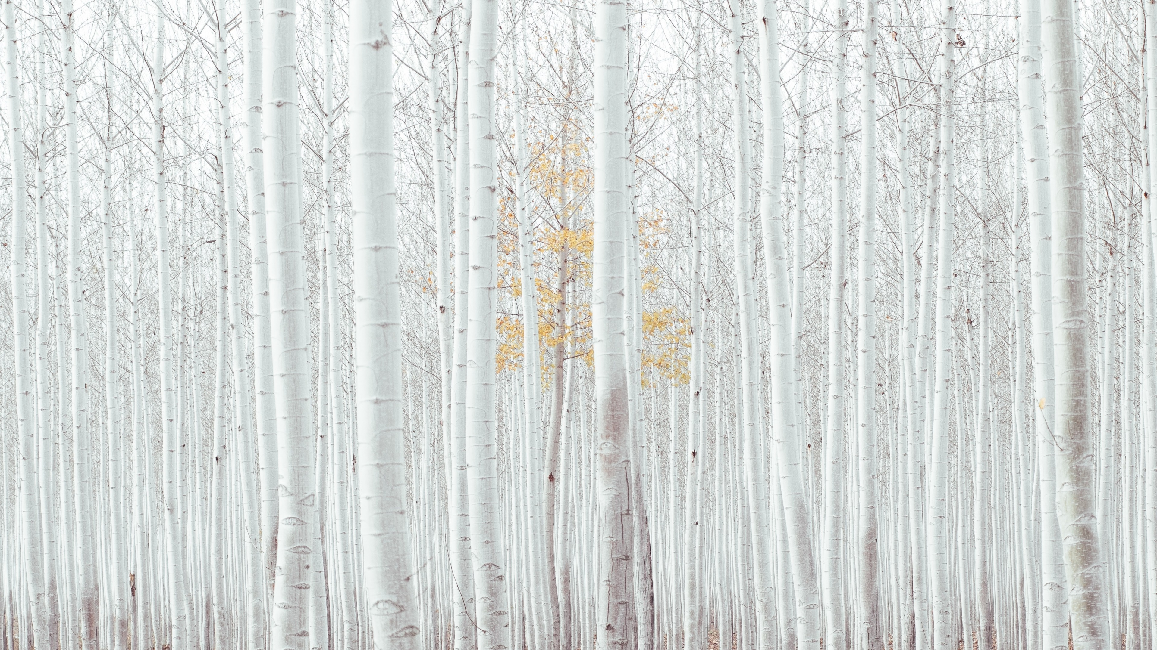 Wallpaper White Trees Forest 4k Nature 16745