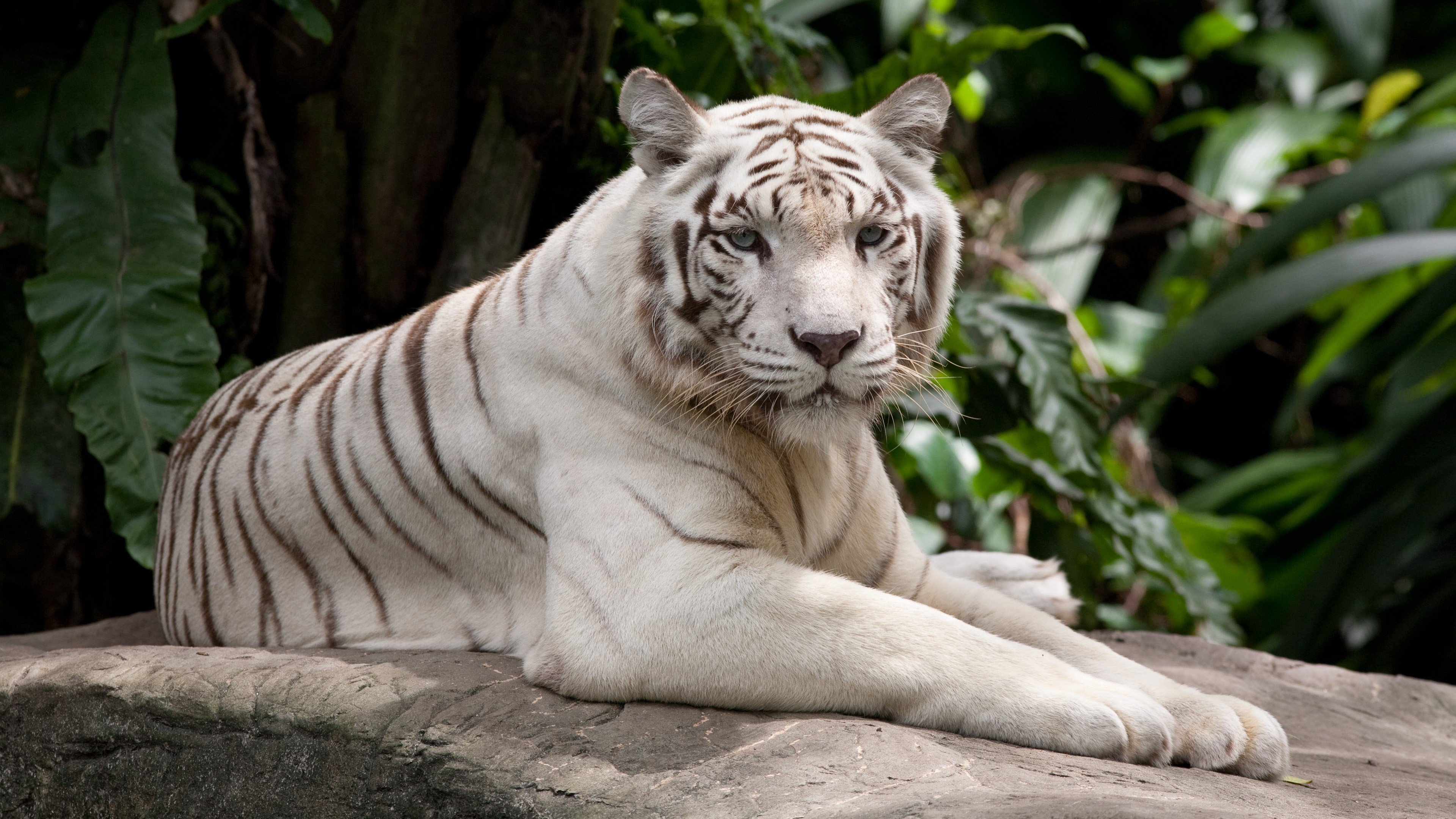 Wallpaper white tiger, nature, wild, animals, Animals #10163