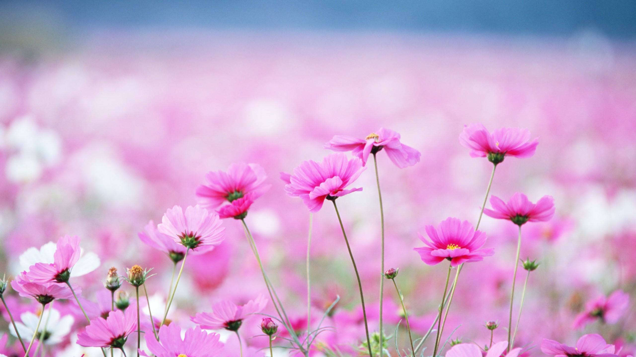 Wallpaper Wildflowers Hd 4k Wallpaper Field Pink Flower Nature