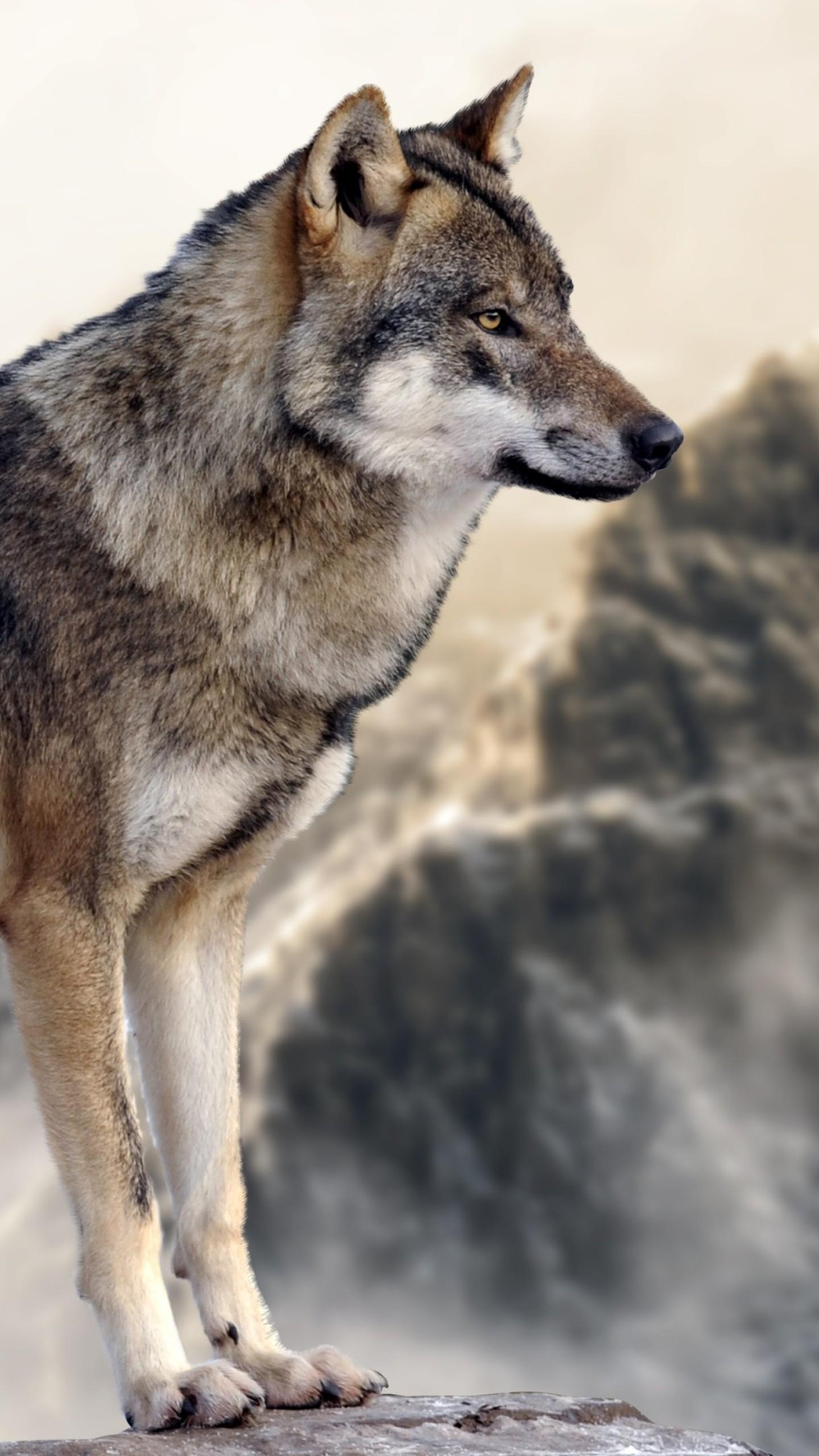Wallpaper wolf, mounta...