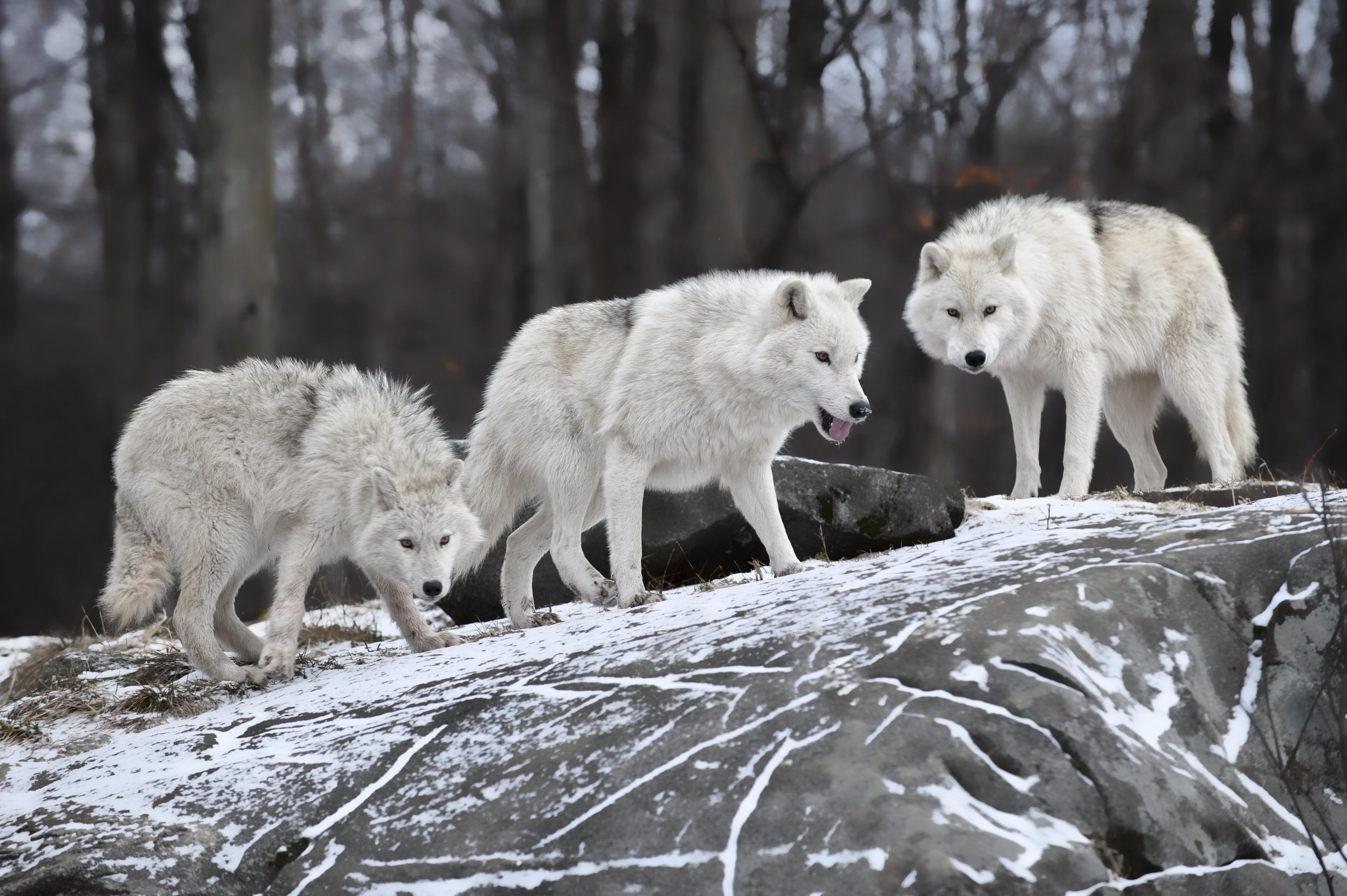 Wallpaper Wolf Forest Snow Cute Animals Animals 4736