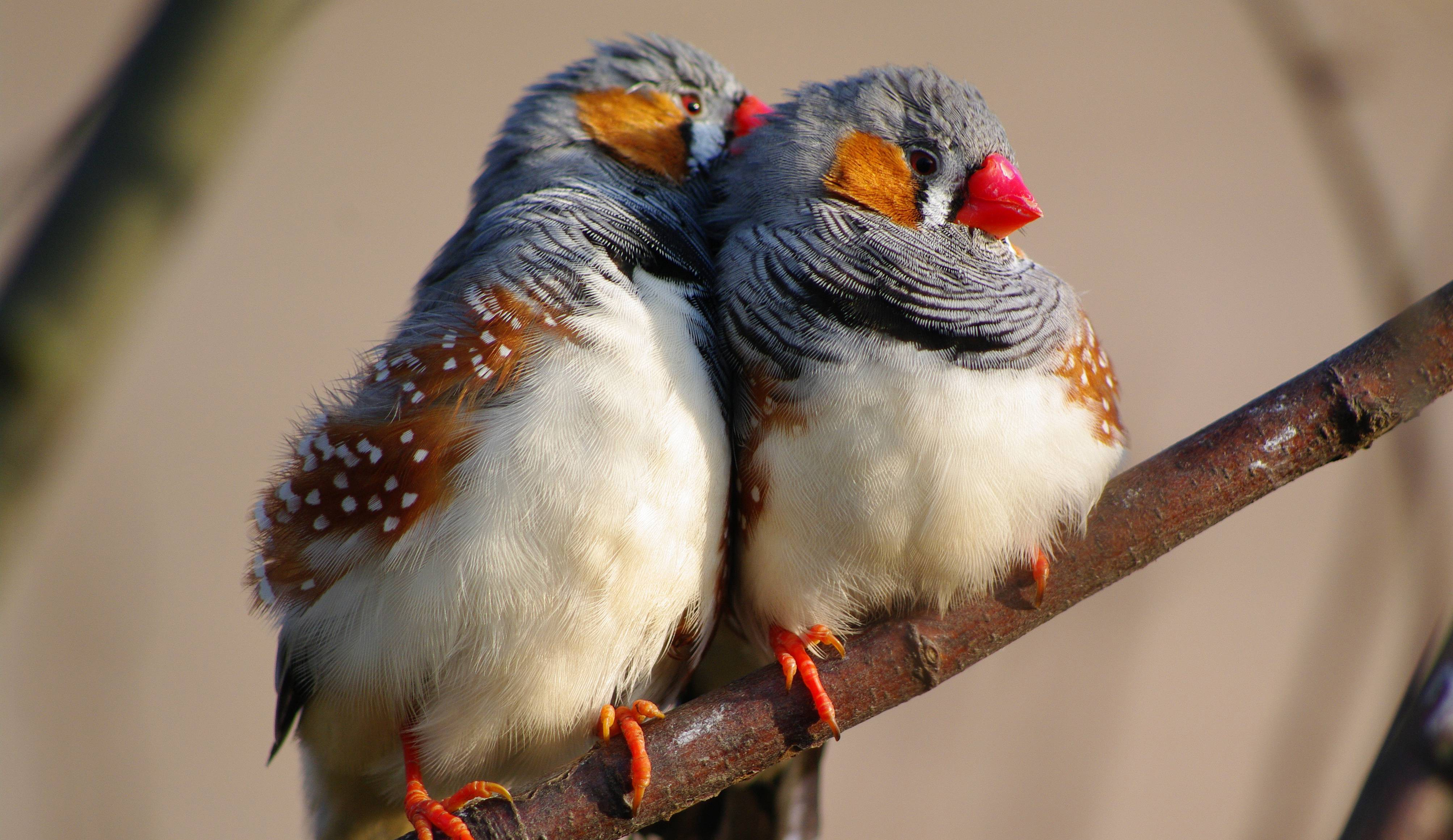 Wallpaper Zebra Finch 5k 4k Wallpaper Indonesia East